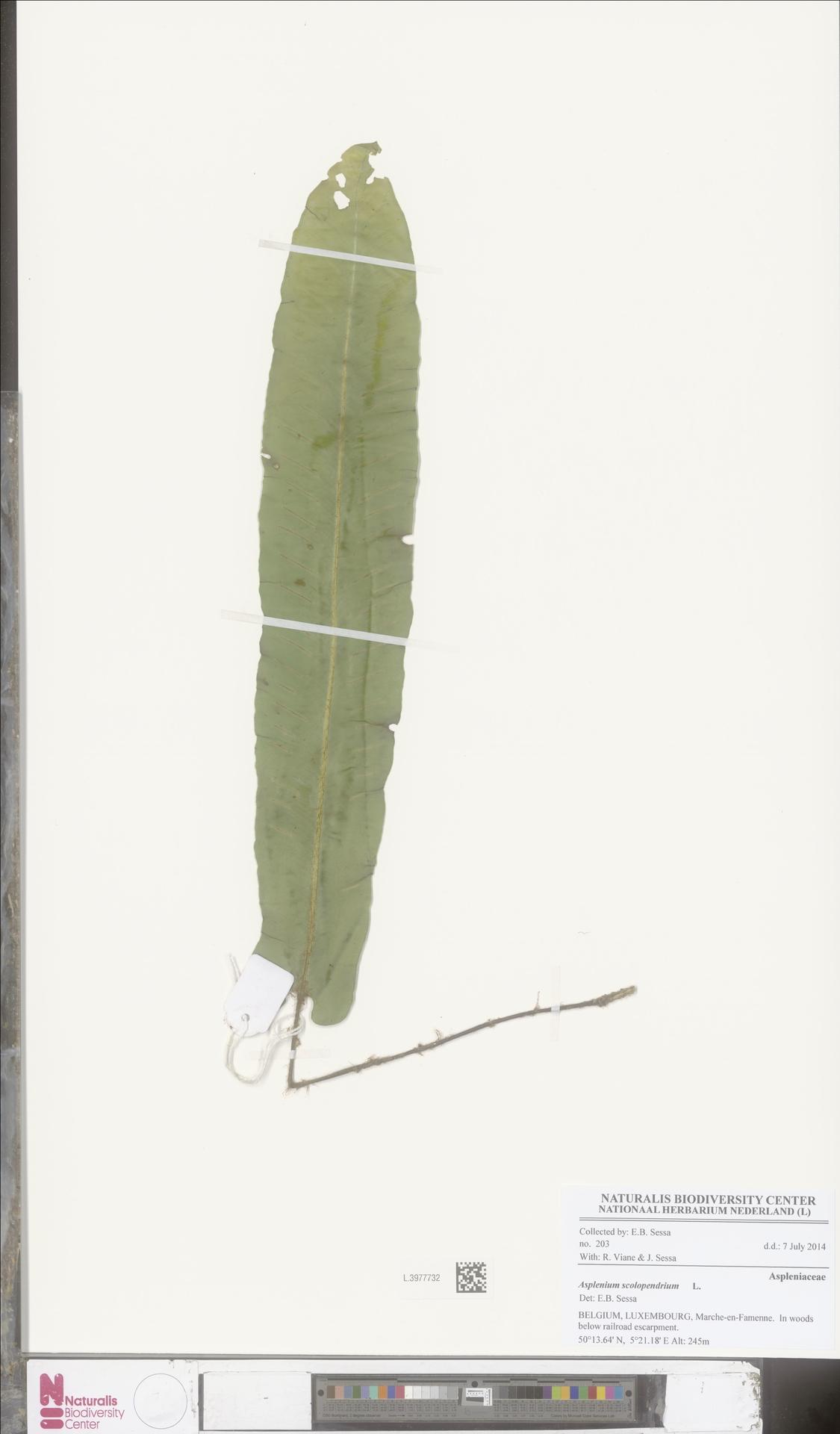 L.3977732 | Asplenium scolopendrium L.