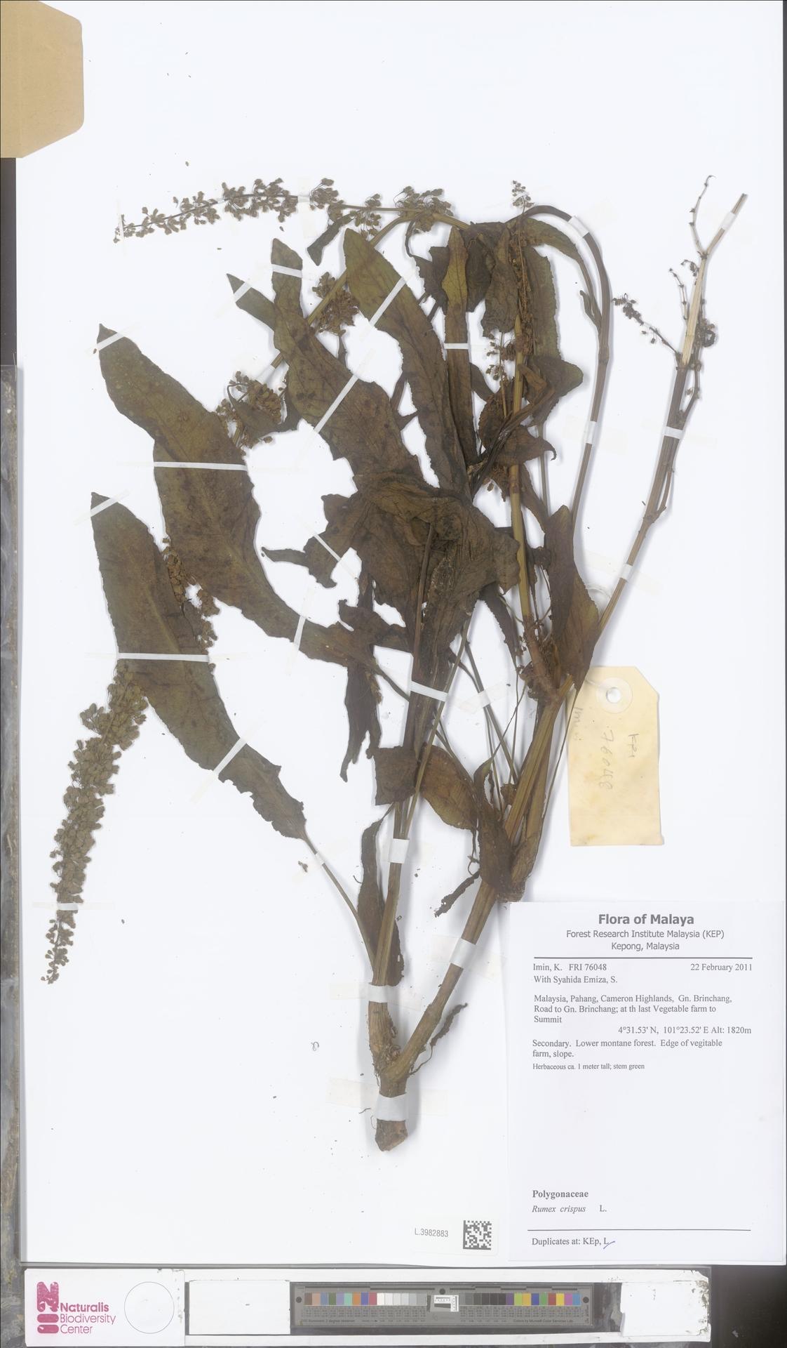 L.3982883 | Rumex crispus L.