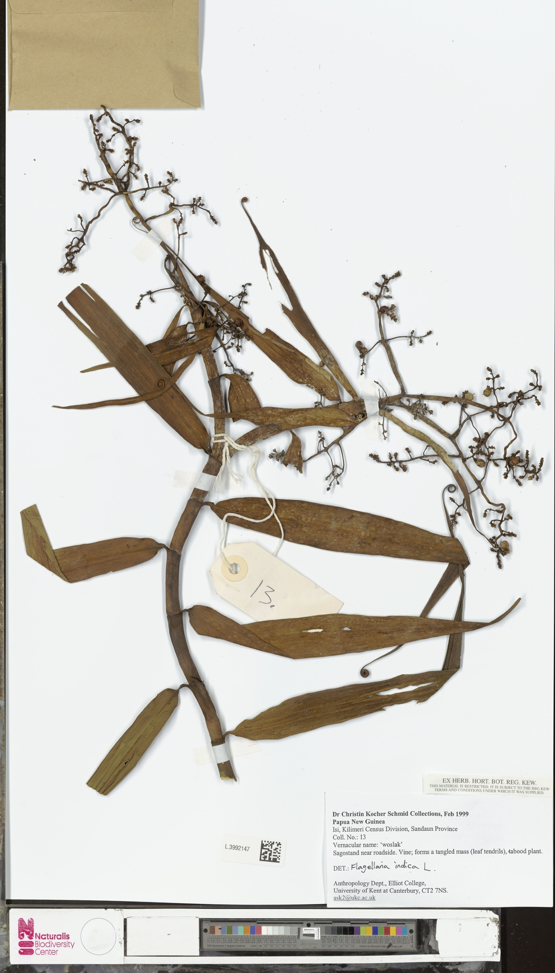 L.3992147 | Flagellaria indica L.