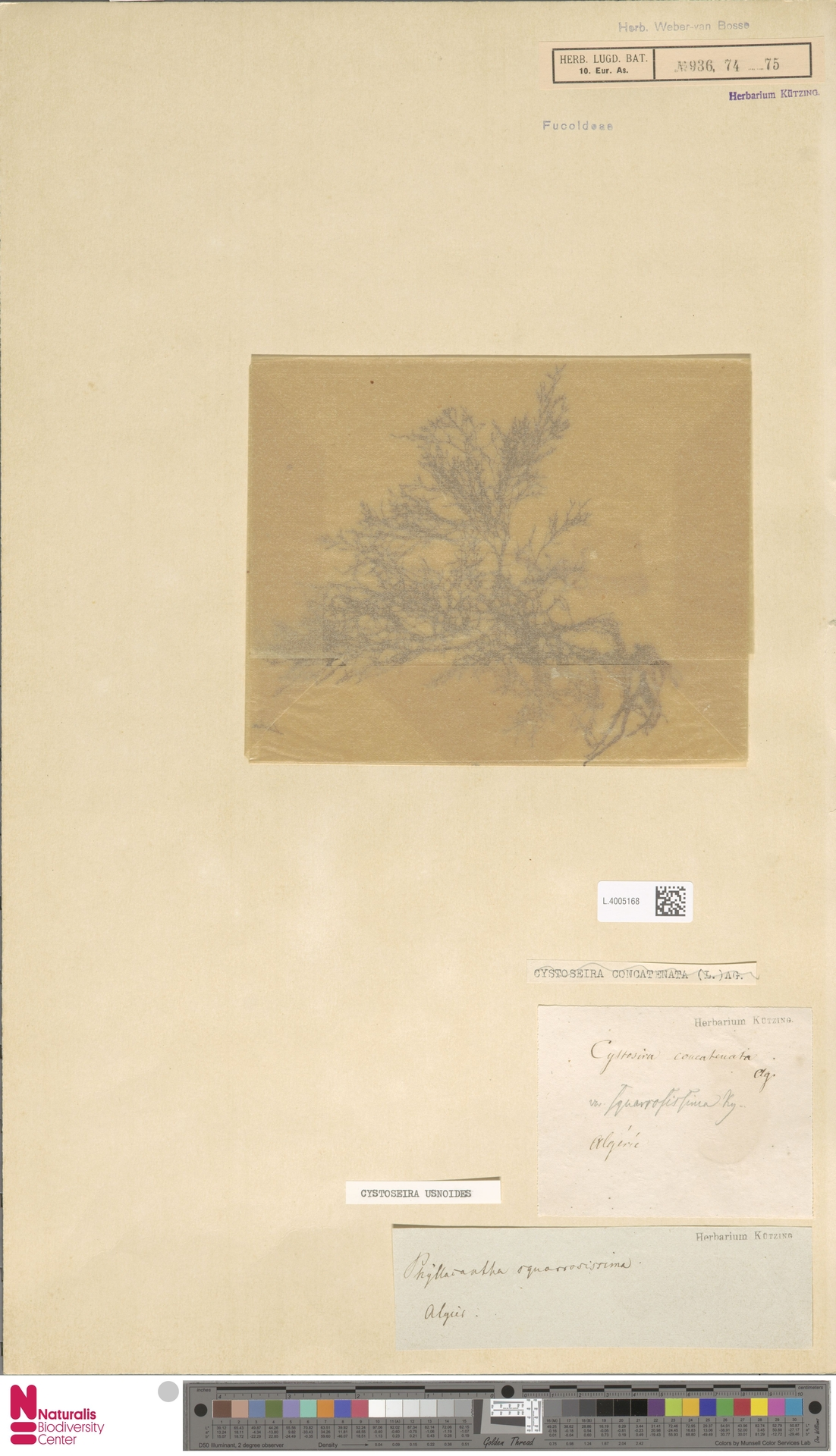 L.4005168 | Cystoseira usnoides (L.) M.Roberts
