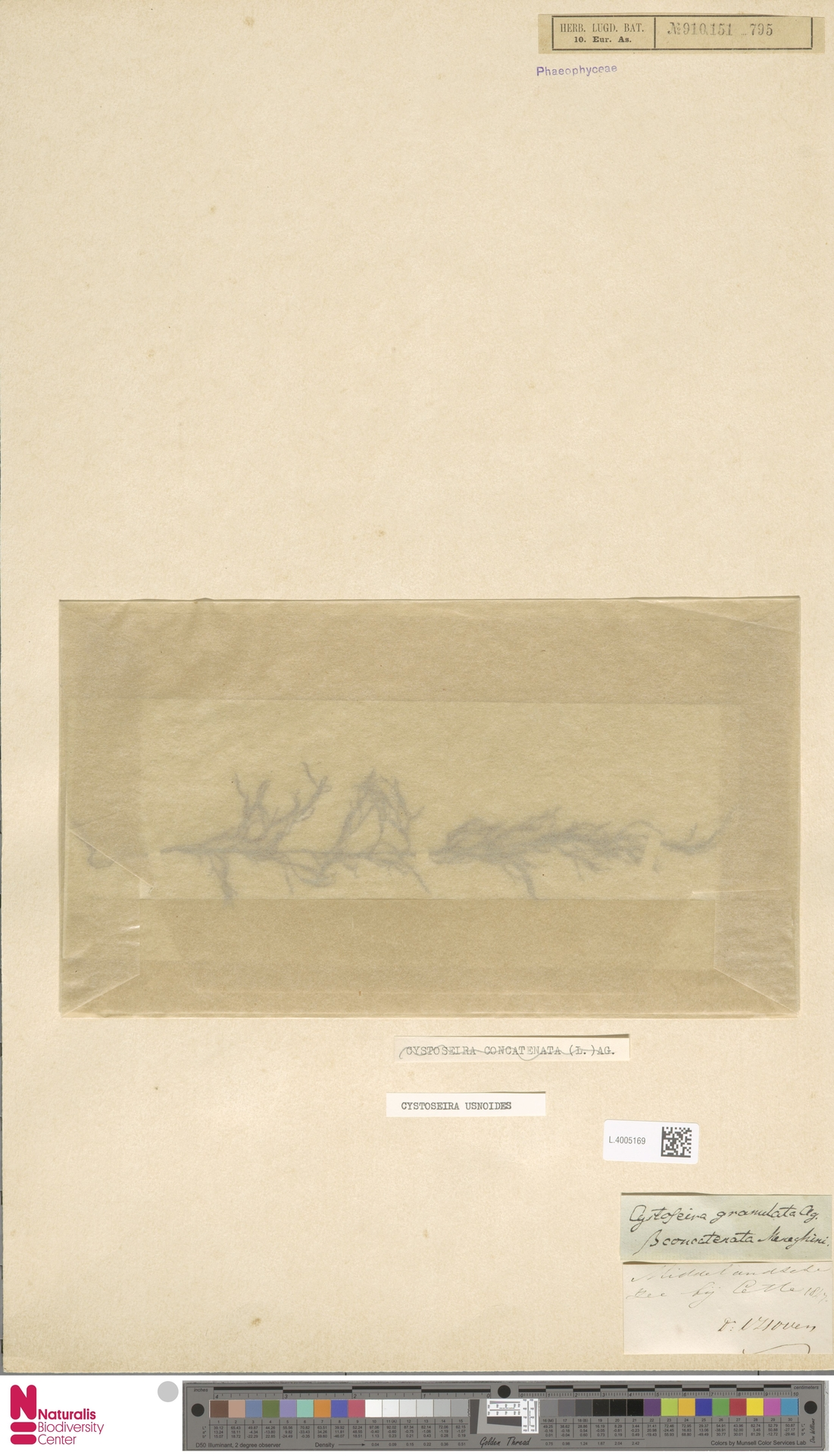 L.4005169 | Cystoseira usnoides (L.) M.Roberts