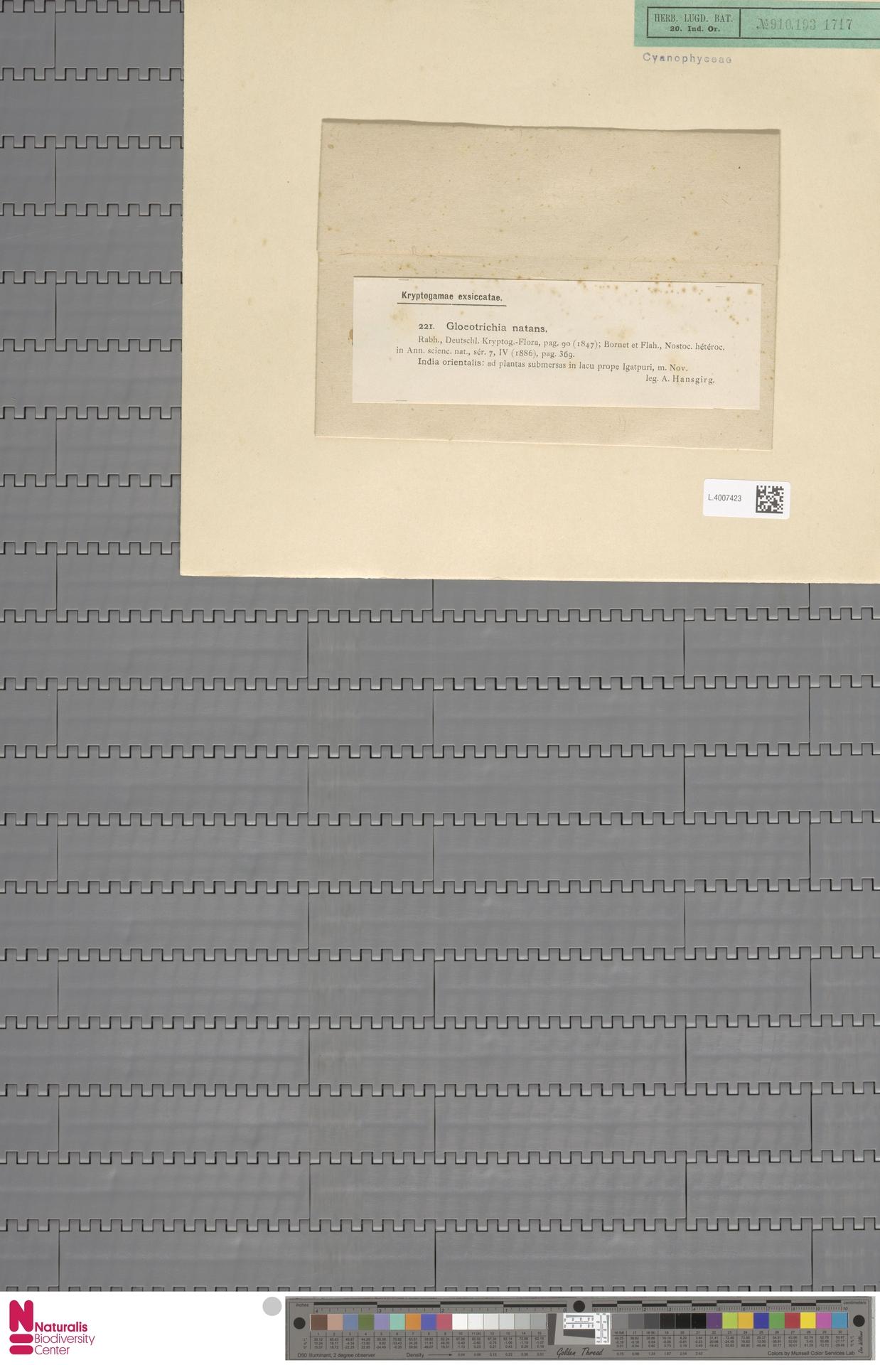 L.4007423 | Gloeotrichia natans (Hedw.) Rabenh. ex Bornet & Flahault