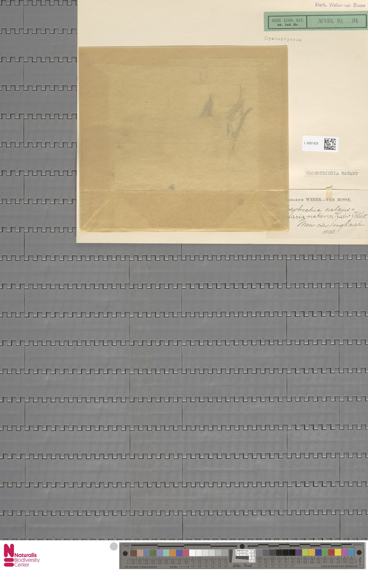 L.4007424 | Gloeotrichia natans Rabenh. ex Bornet & Flahault