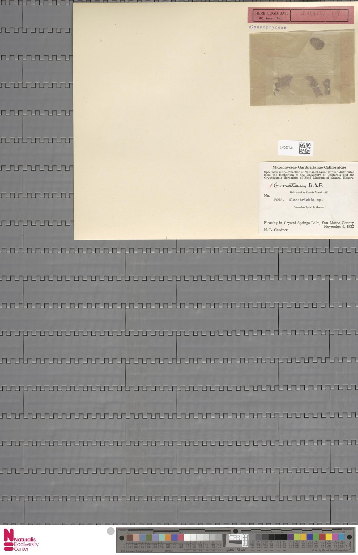 L.4007434 | Gloeotrichia natans (Hedw.) Rabenh. ex Bornet & Flahault