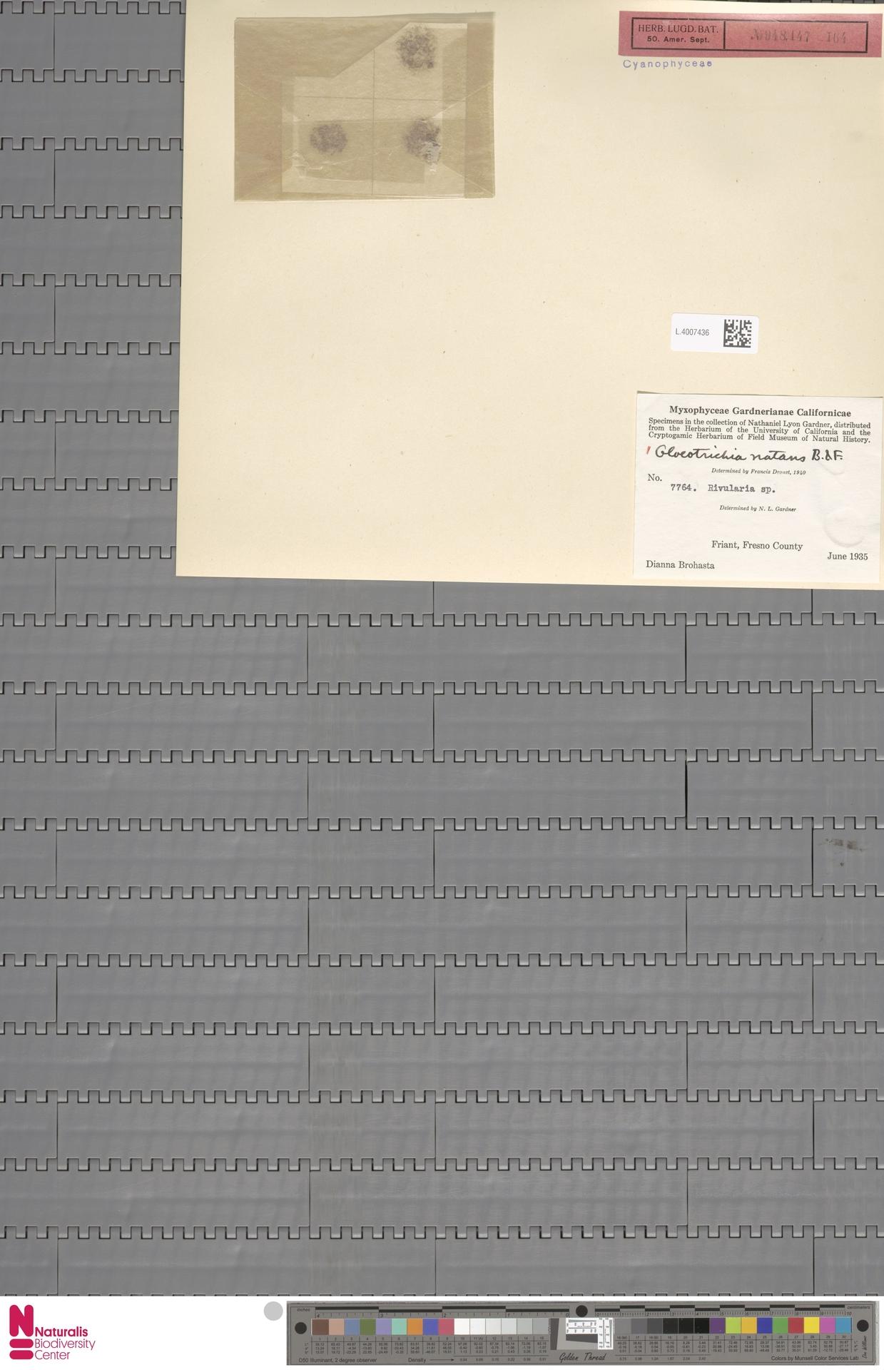 L.4007436 | Gloeotrichia natans Rabenh. ex Bornet & Flahault