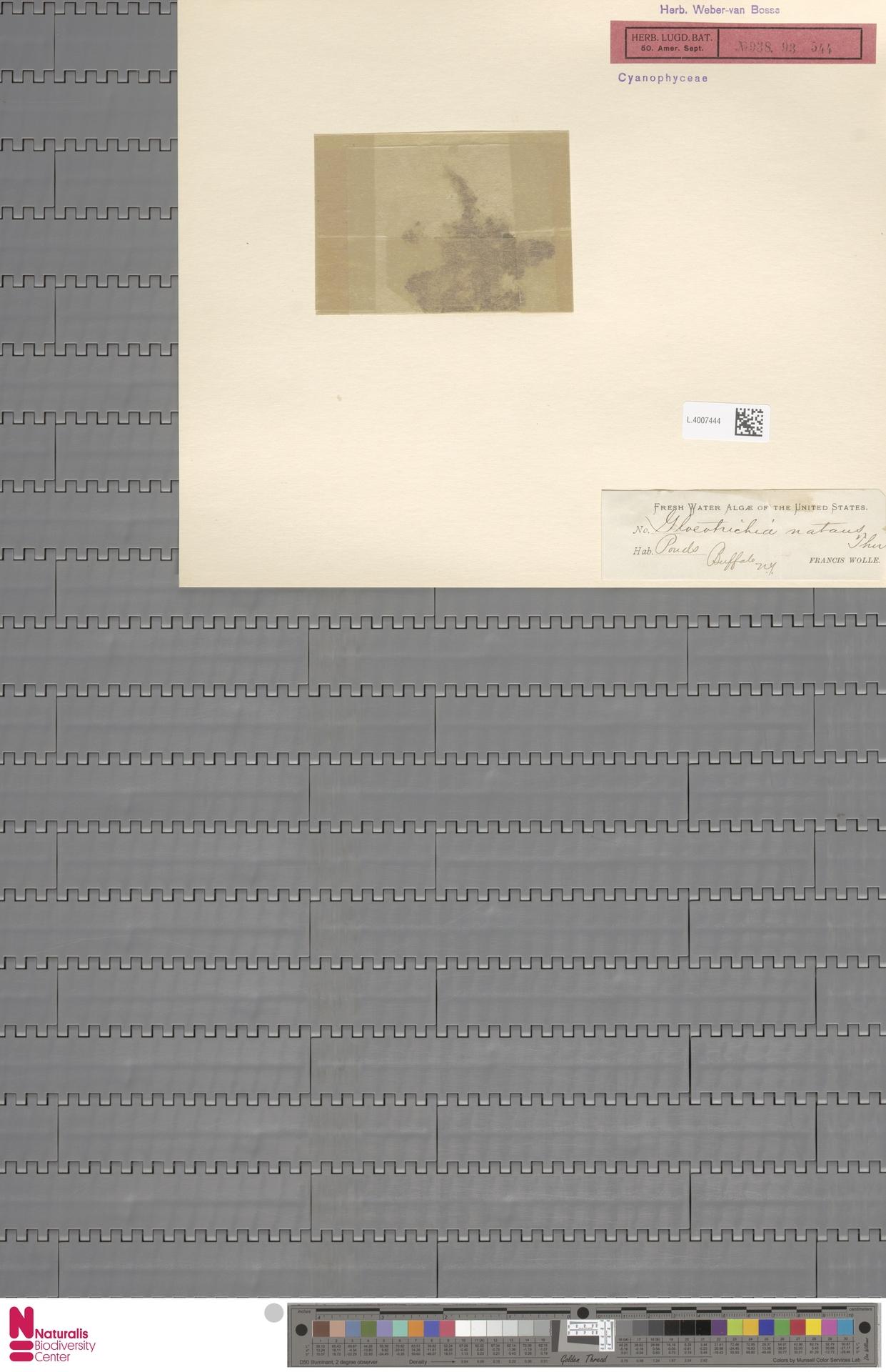 L.4007444 | Gloeotrichia natans (Hedw.) Rabenh. ex Bornet & Flahault