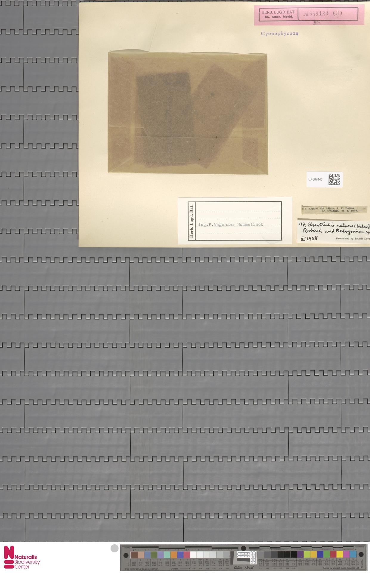 L.4007446 | Gloeotrichia natans Rabenh. ex Bornet & Flahault
