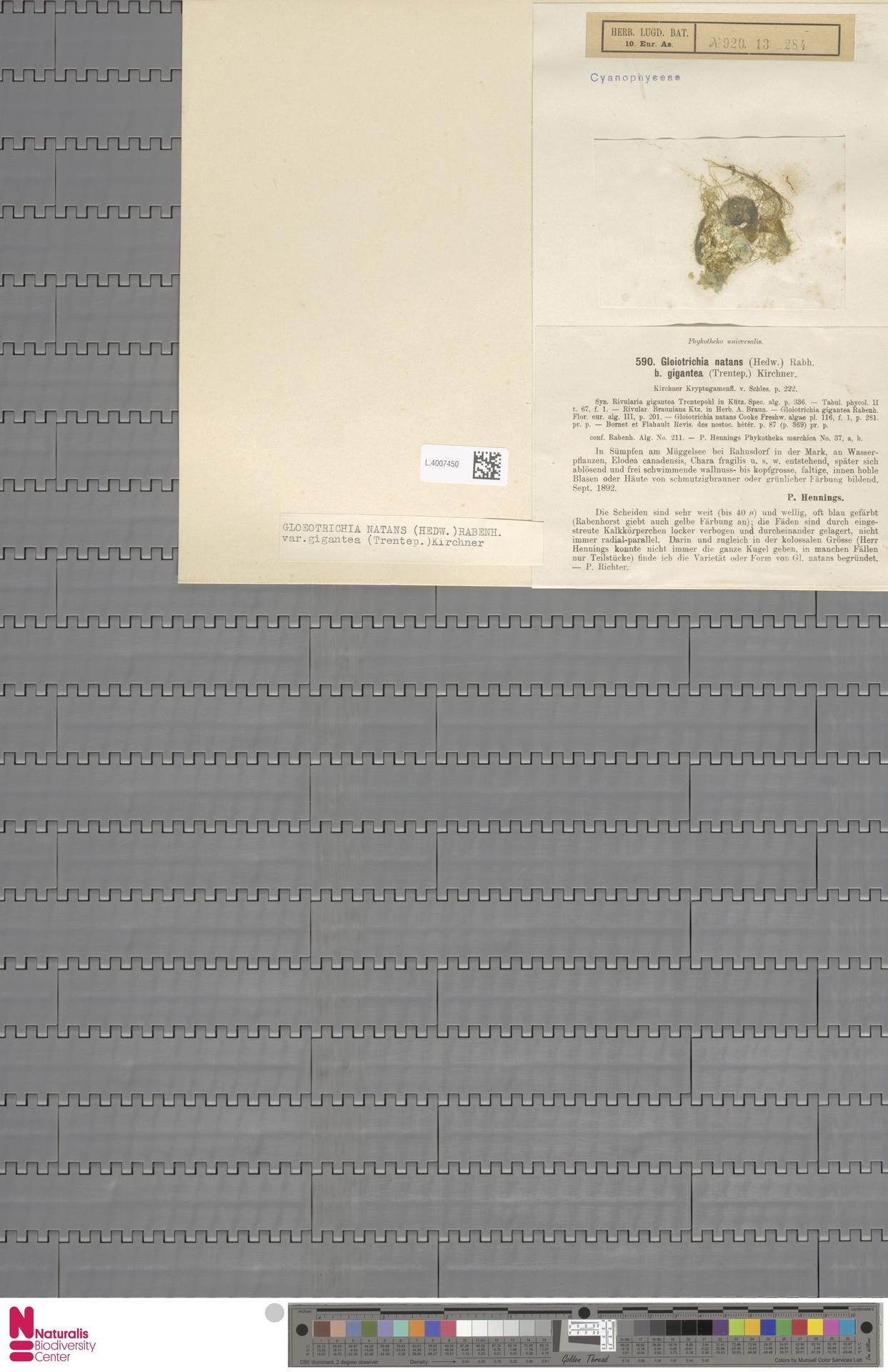 L.4007450 | Gloeotrichia natans f. brauniana