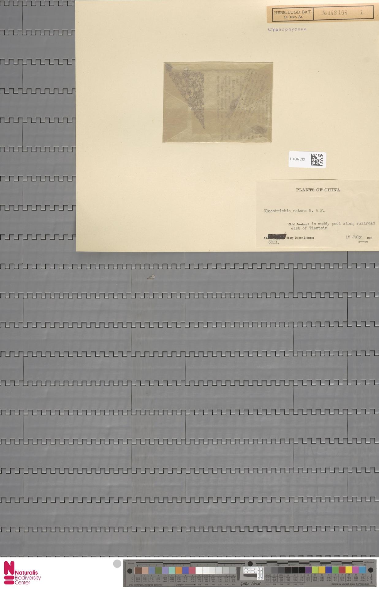 L.4007533 | Gloeotrichia natans (Hedw.) Rabenh. ex Bornet & Flahault