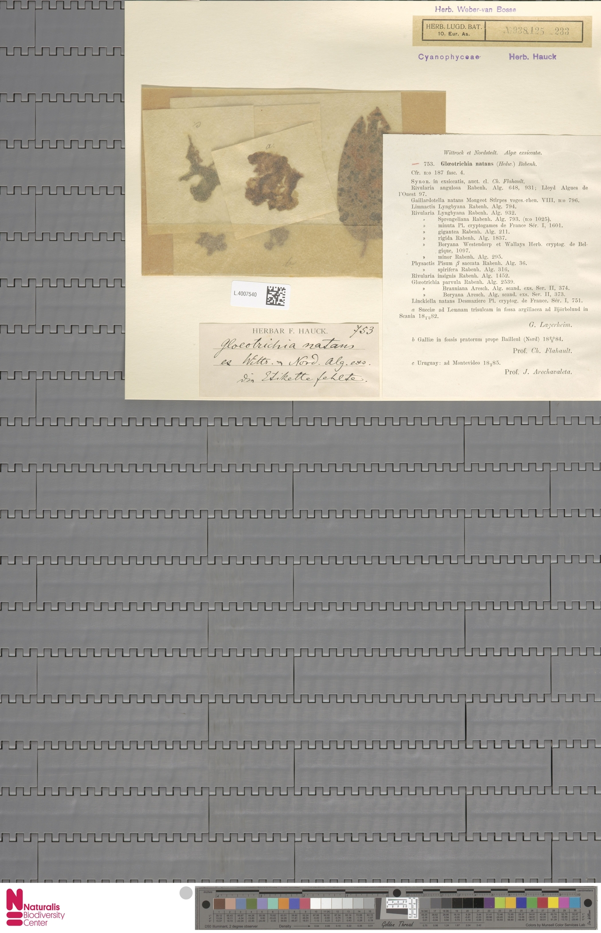 L.4007540 | Gloeotrichia natans Rabenh. ex Bornet & Flahault