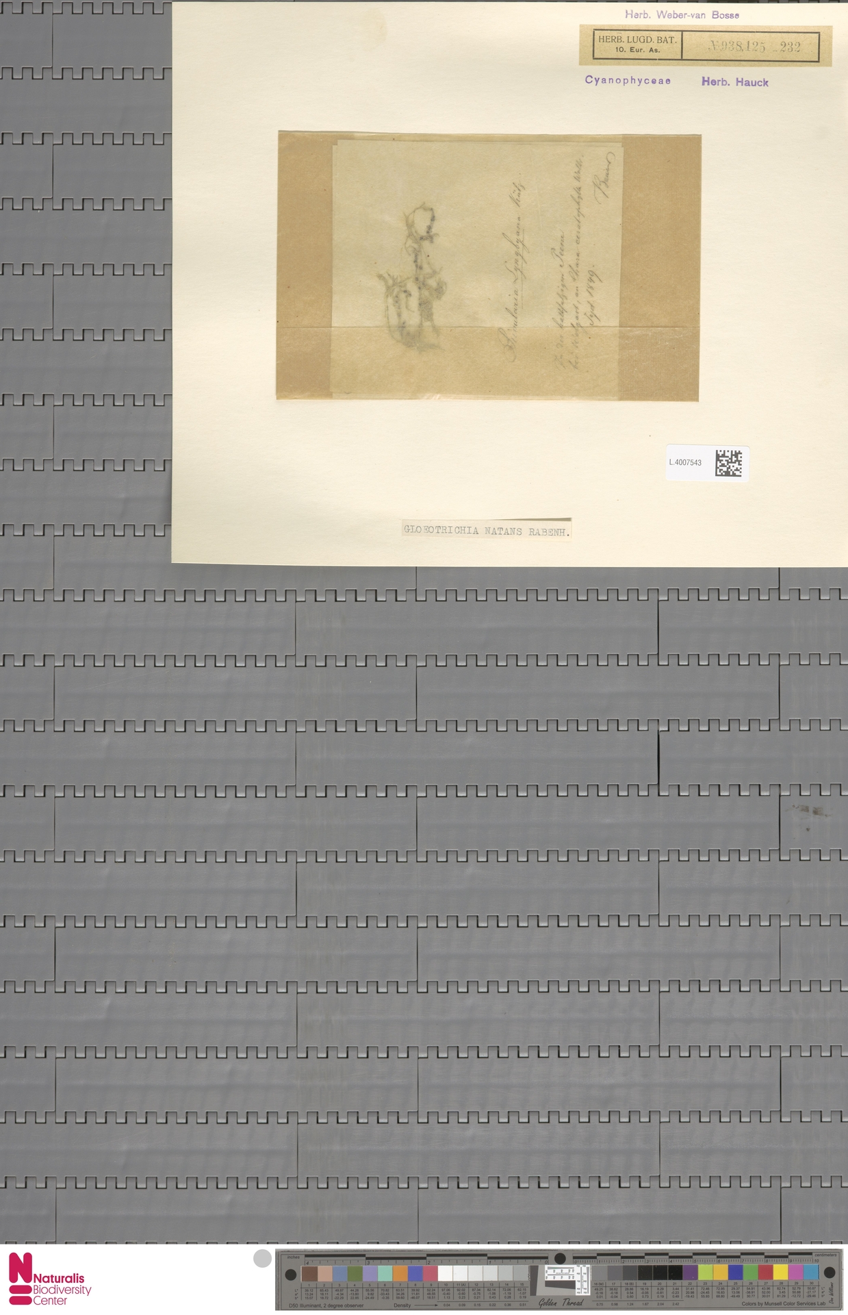 L.4007543 | Gloeotrichia natans (Hedw.) Rabenh. ex Bornet & Flahault