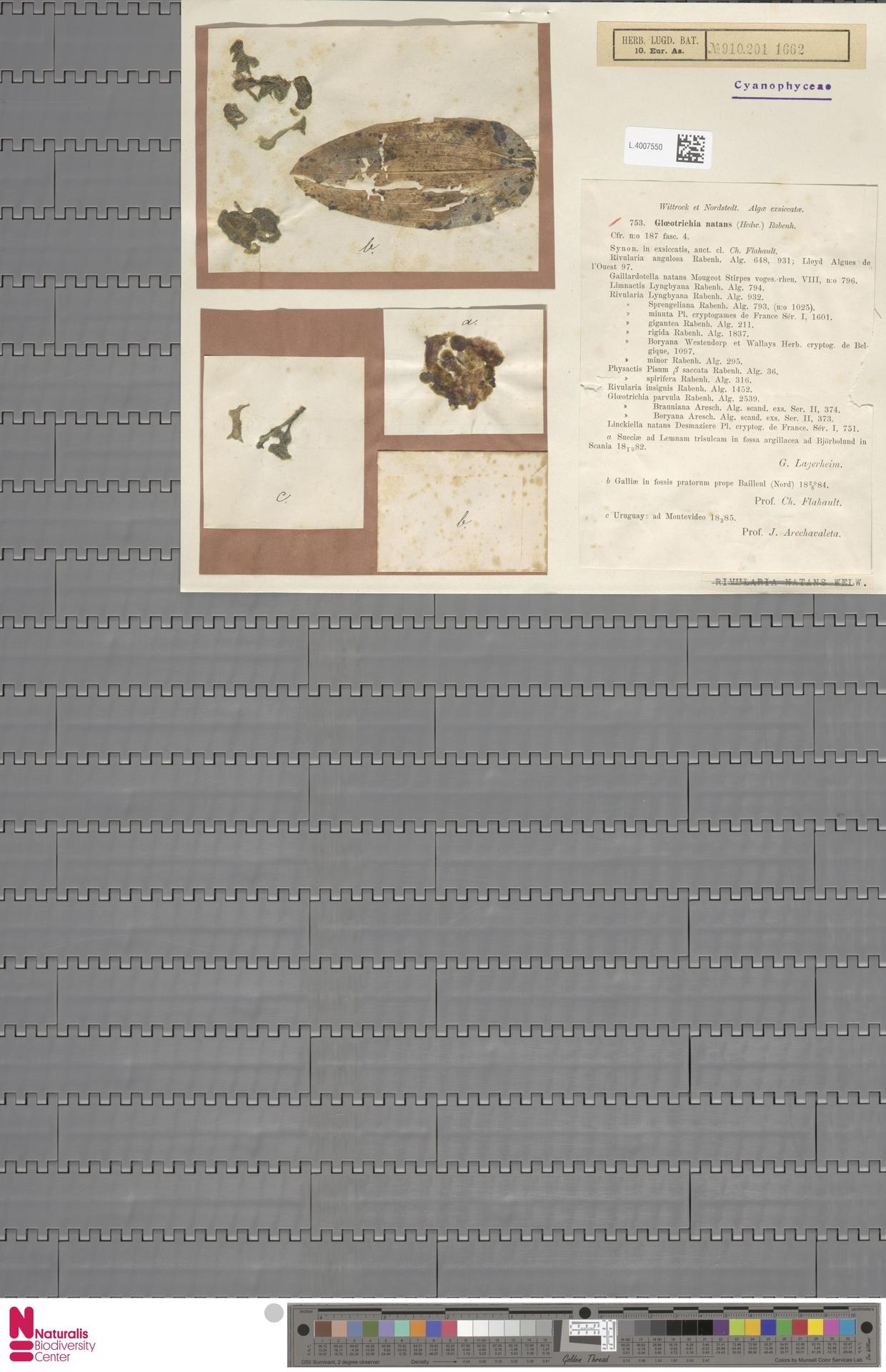 L.4007550 | Gloeotrichia natans Rabenh. ex Bornet & Flahault