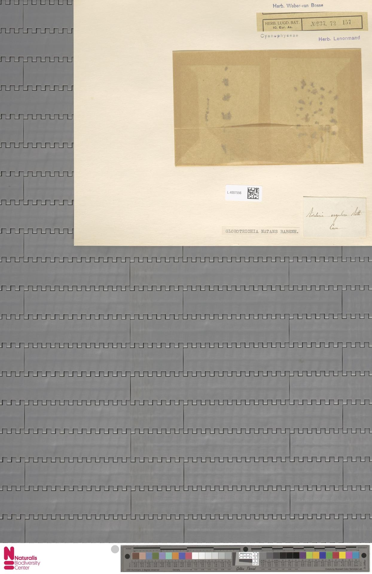 L.4007556 | Gloeotrichia natans (Hedw.) Rabenh. ex Bornet & Flahault