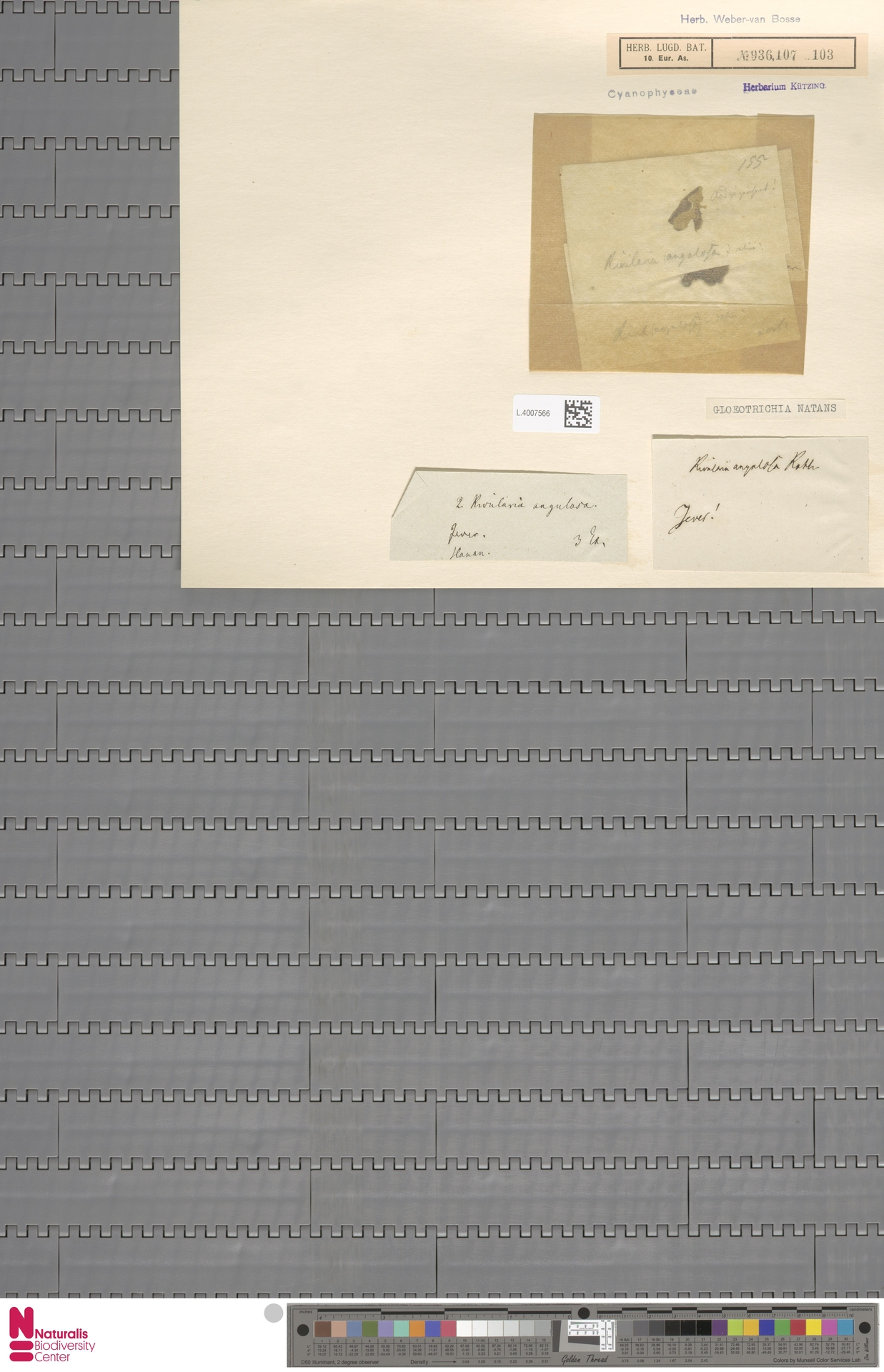 L.4007566 | Gloeotrichia natans (Hedw.) Rabenh. ex Bornet & Flahault