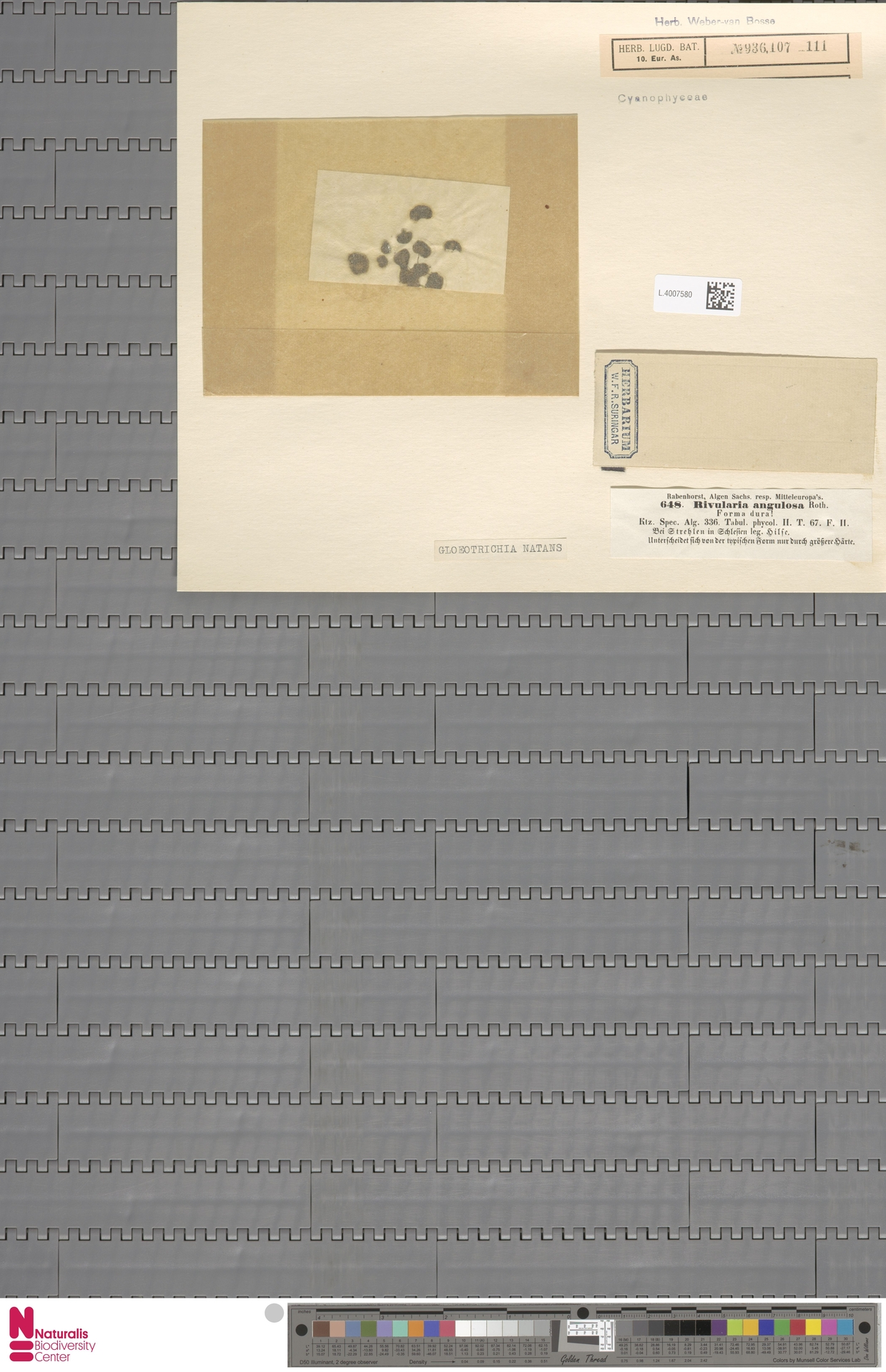 L.4007580 | Gloeotrichia natans Rabenh. ex Bornet & Flahault
