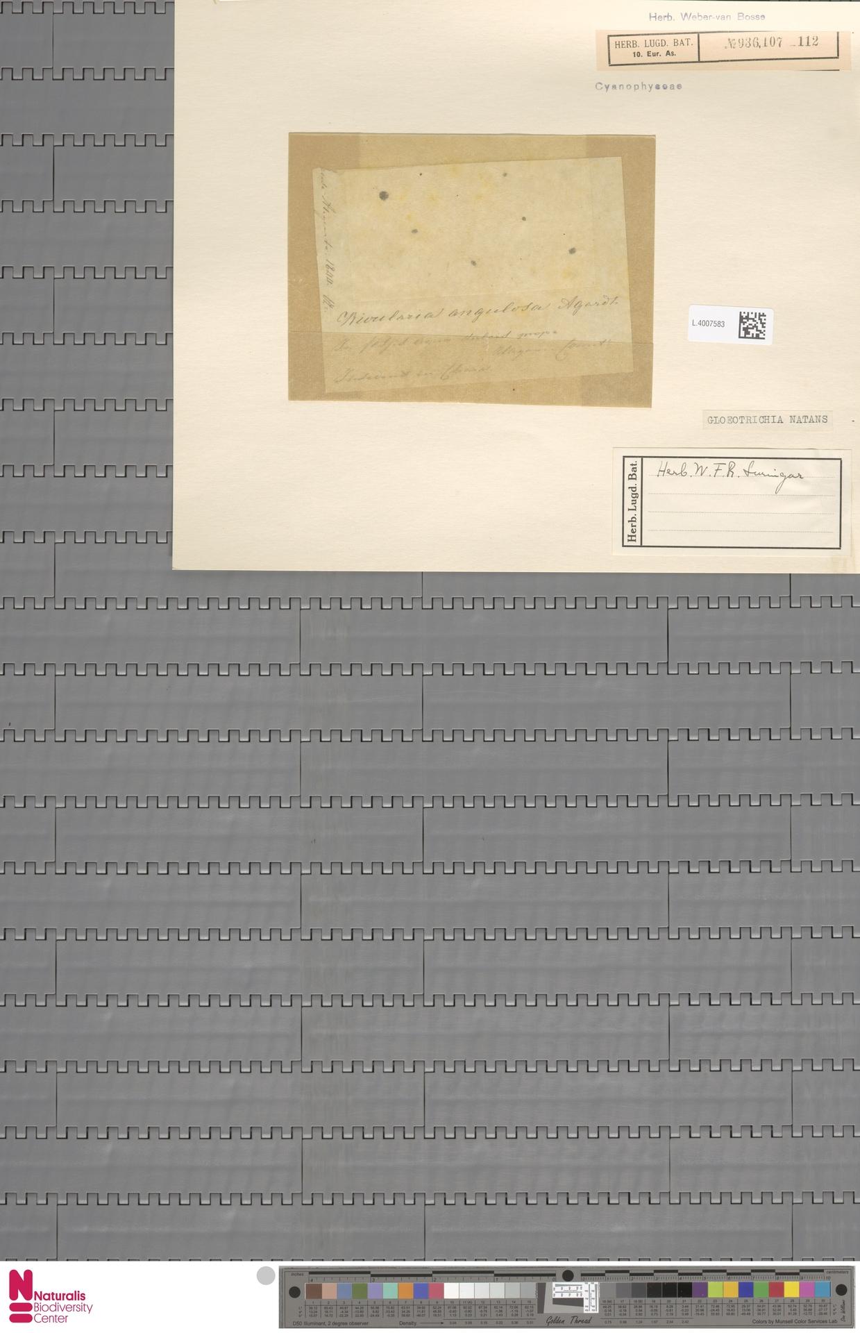 L.4007583 | Gloeotrichia natans (Hedw.) Rabenh. ex Bornet & Flahault