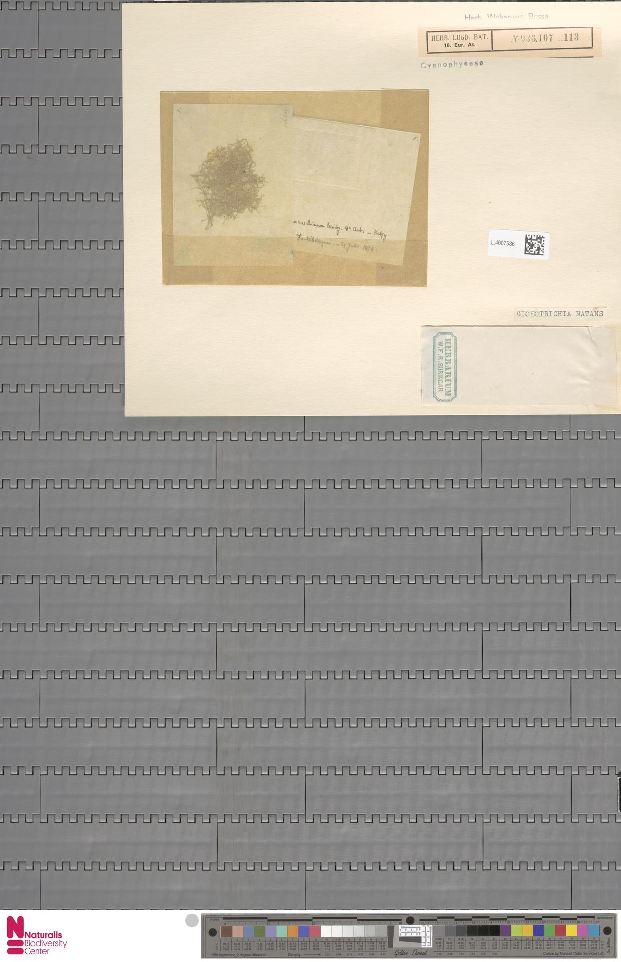 L.4007586 | Gloeotrichia natans (Hedw.) Rabenh. ex Bornet & Flahault