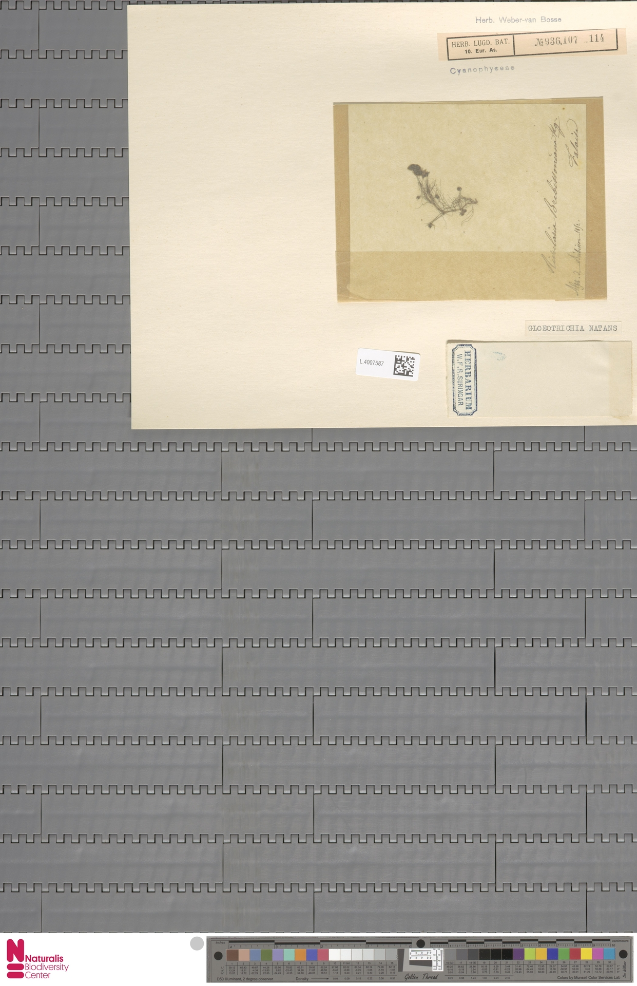 L.4007587 | Gloeotrichia natans Rabenh. ex Bornet & Flahault