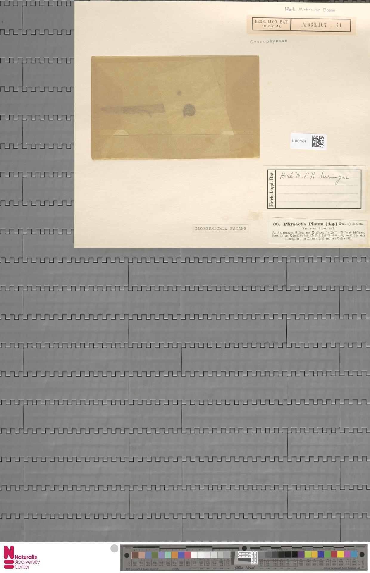 L.4007594 | Gloeotrichia natans Rabenh. ex Bornet & Flahault