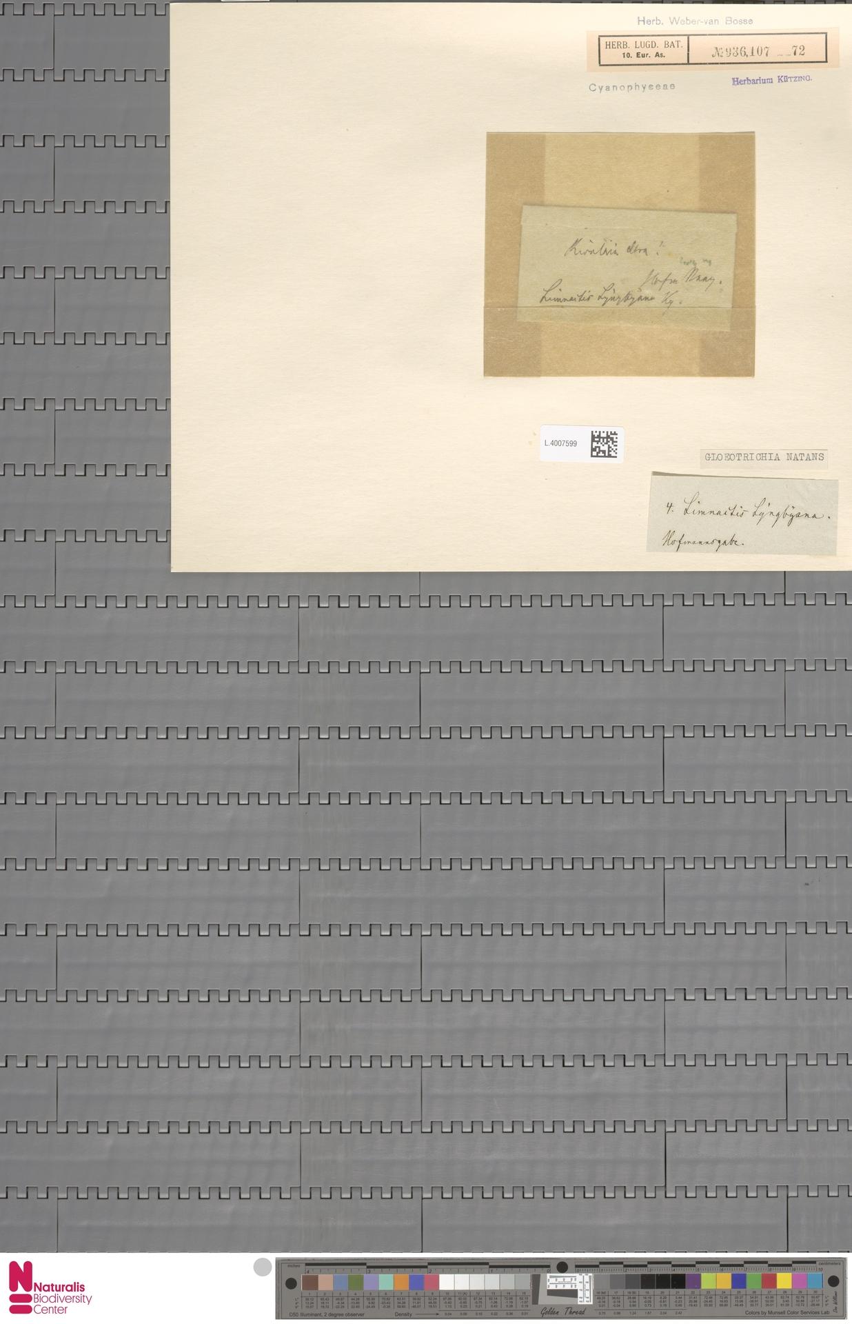 L.4007599 | Gloeotrichia natans (Hedw.) Rabenh. ex Bornet & Flahault