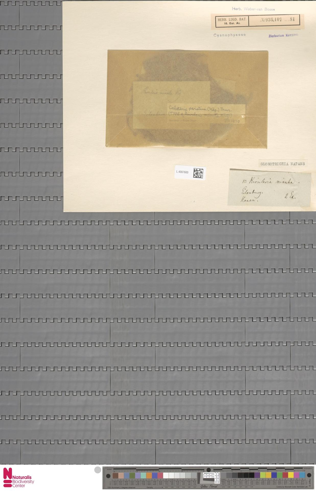 L.4007600 | Gloeotrichia natans Rabenh. ex Bornet & Flahault