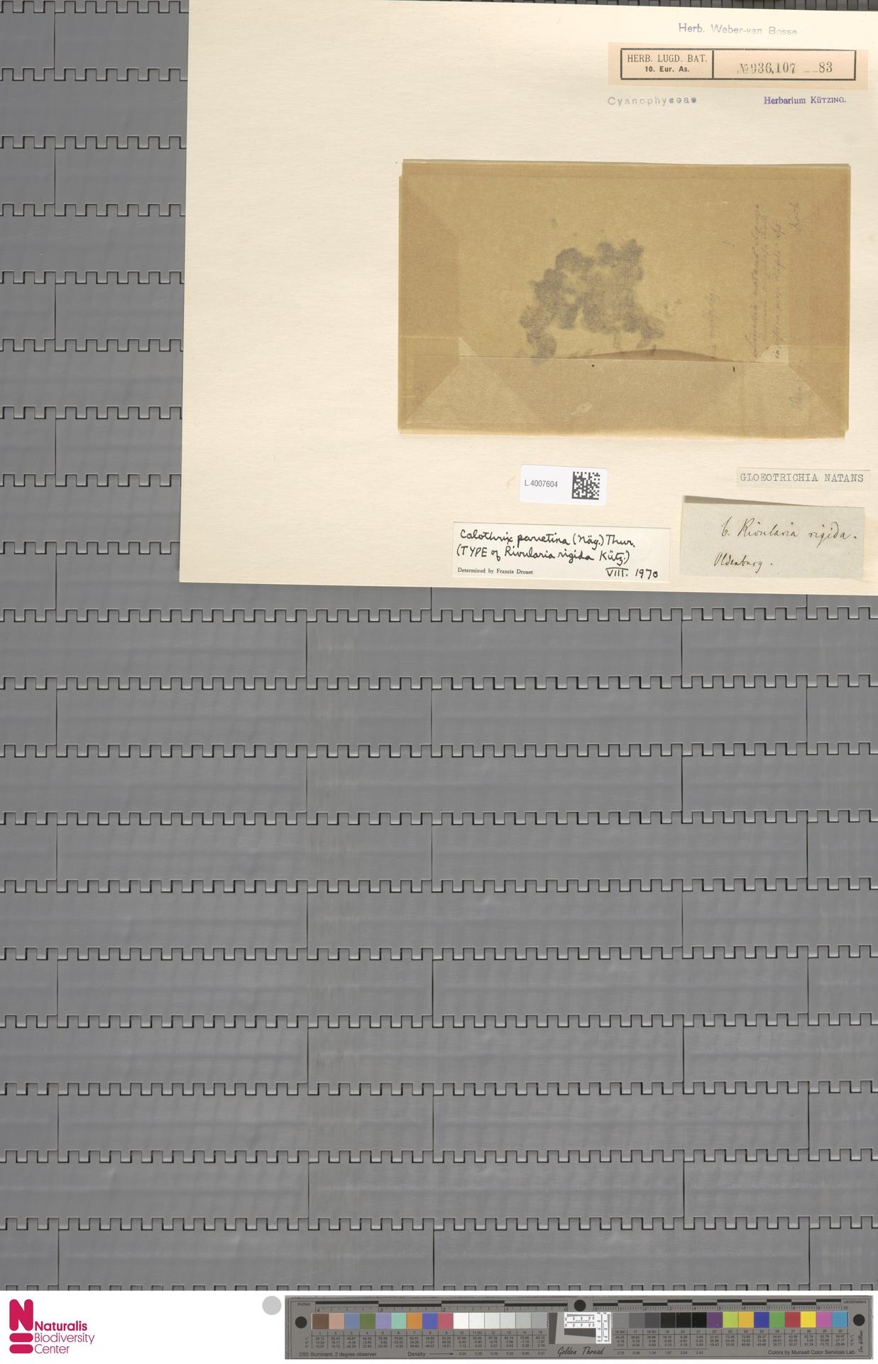 L.4007604 | Gloeotrichia natans (Hedw.) Rabenh. ex Bornet & Flahault