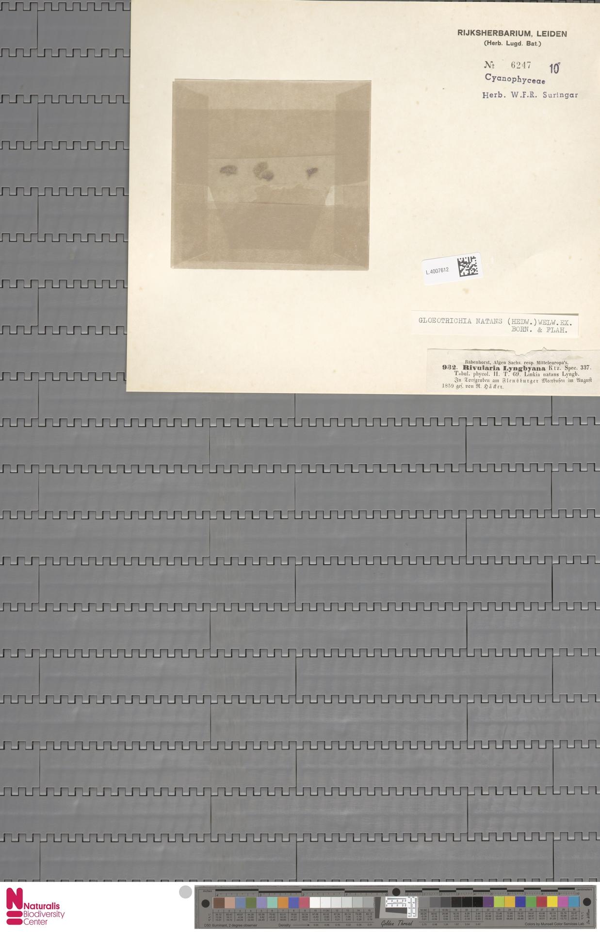 L.4007612 | Gloeotrichia natans (Hedw.) Rabenh. ex Bornet & Flahault