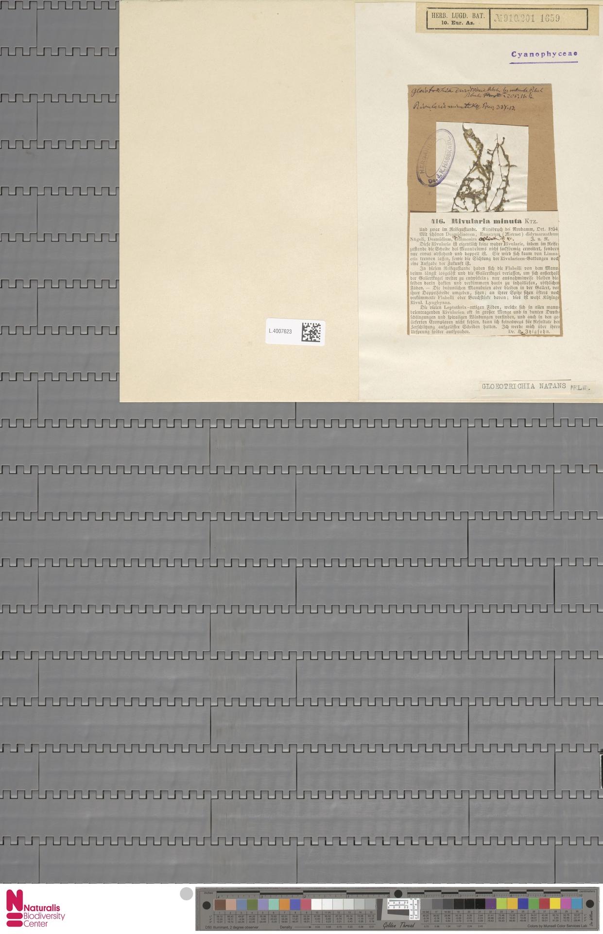 L.4007623 | Gloeotrichia natans (Hedw.) Rabenh. ex Bornet & Flahault