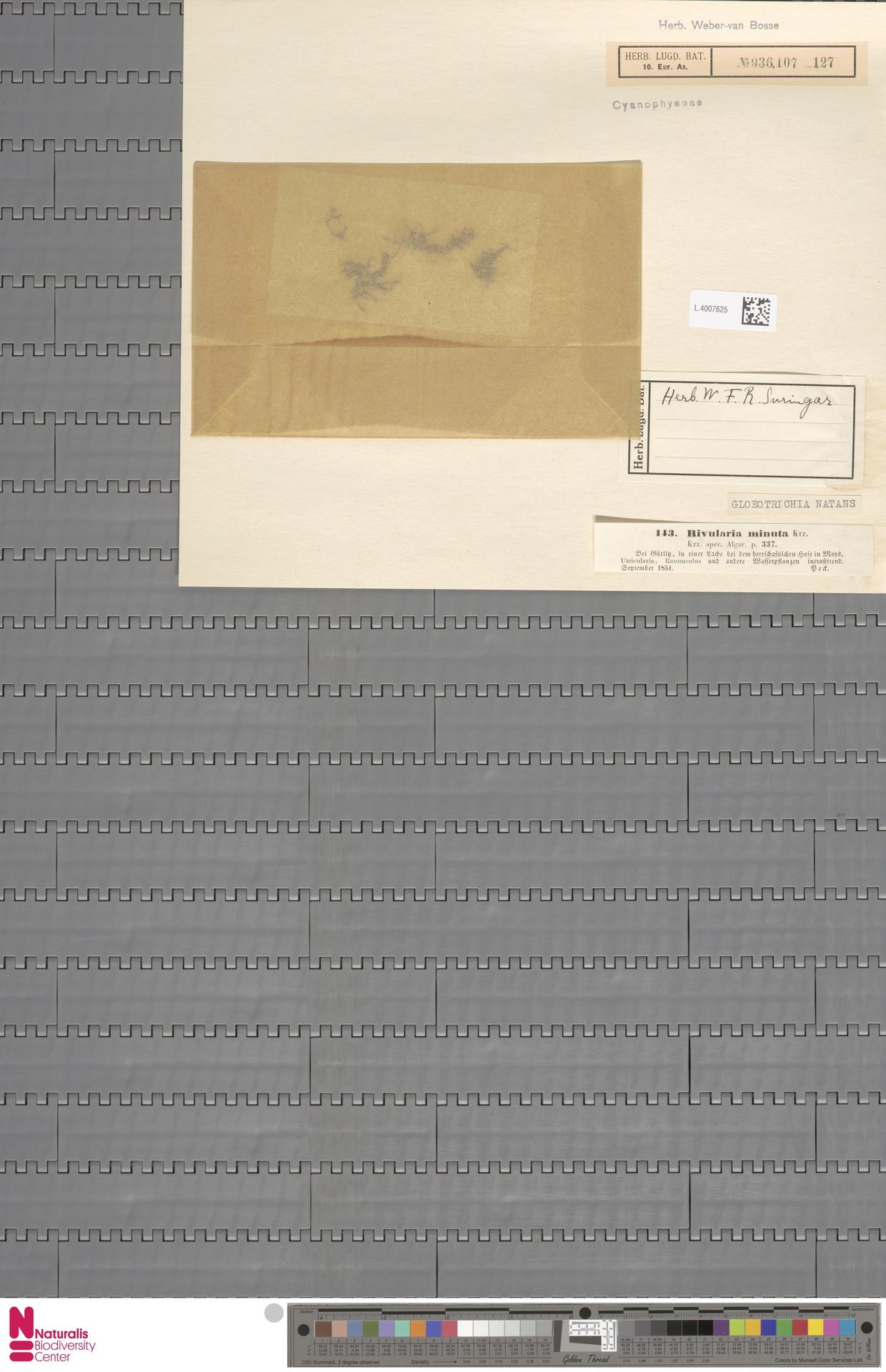 L.4007625 | Gloeotrichia natans Rabenh. ex Bornet & Flahault