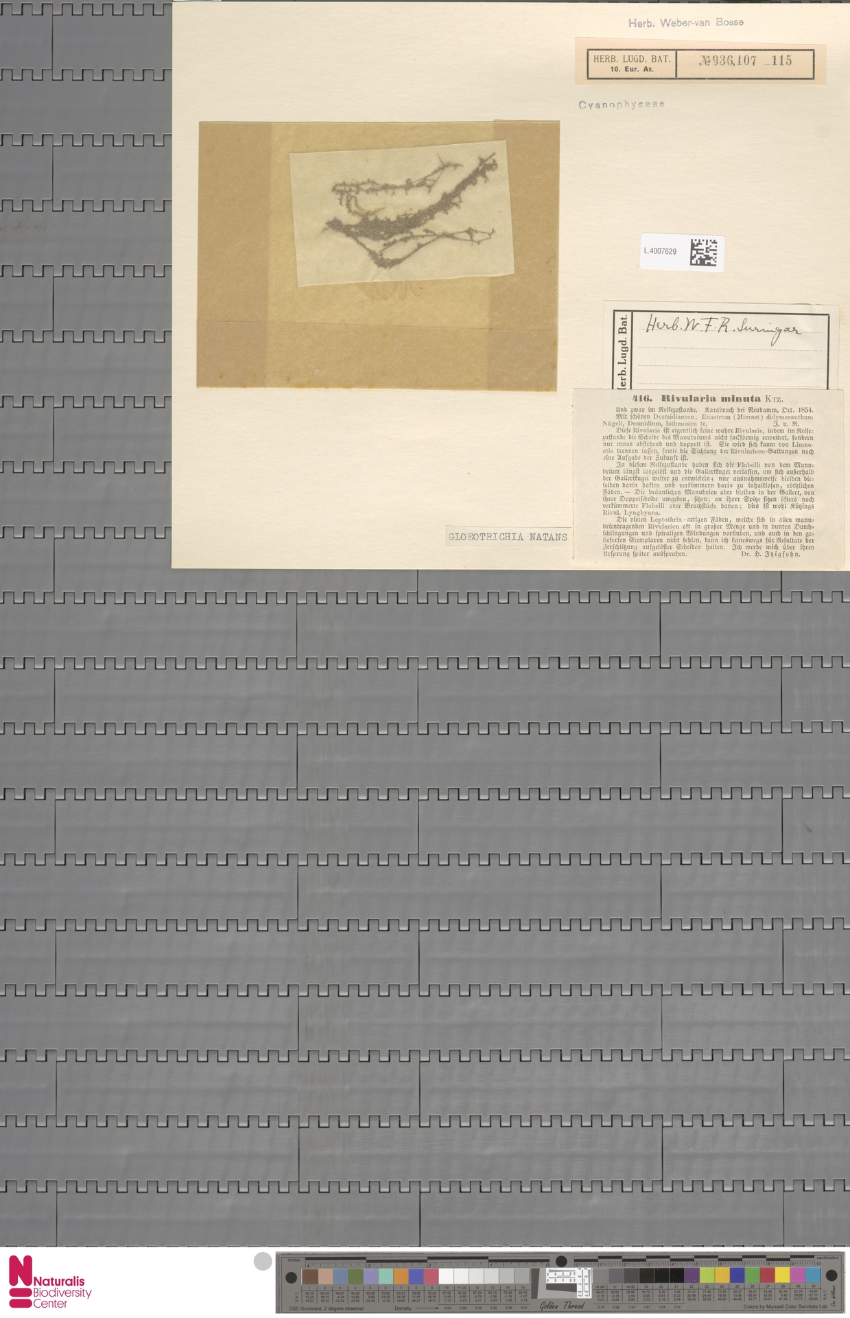 L.4007629 | Gloeotrichia natans (Hedw.) Rabenh. ex Bornet & Flahault