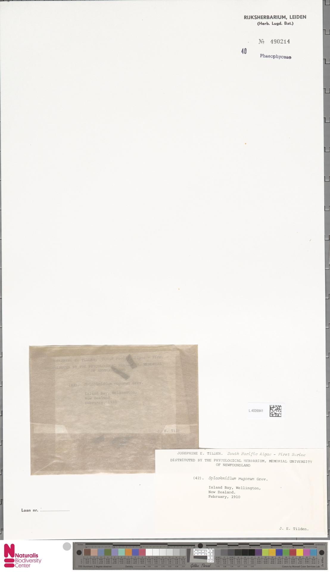 L.4026941 | Splachnidium rugosum (L.) Grev.