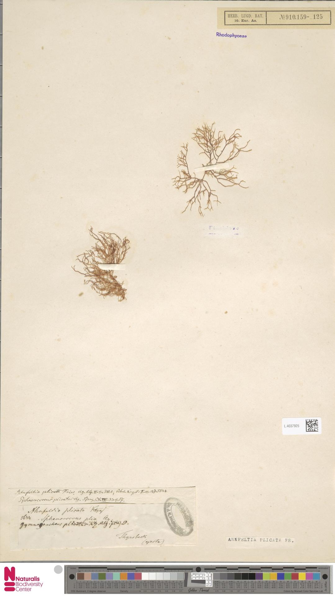 L.4037925 | Ahnfeltia plicata Fr.