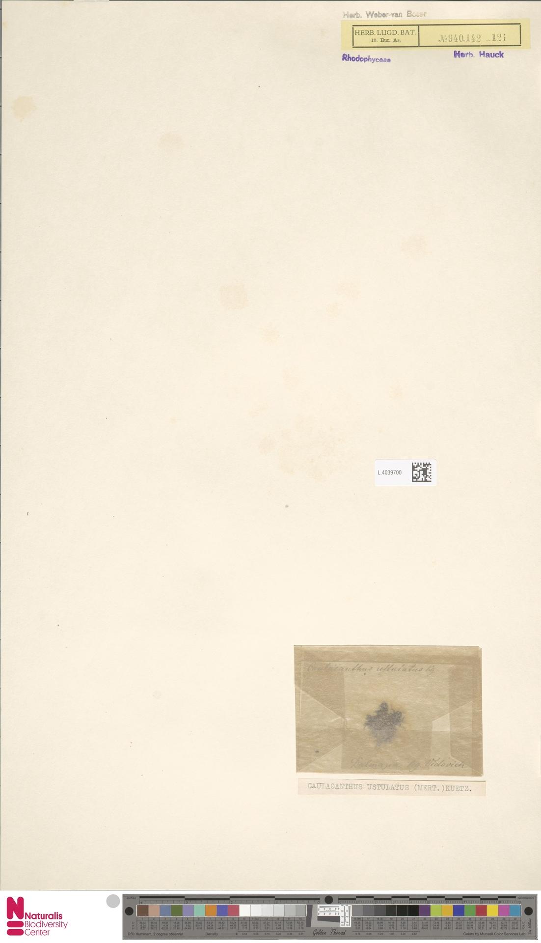 L.4039700 | Caulacanthus ustulatus (Mert.) Kütz.