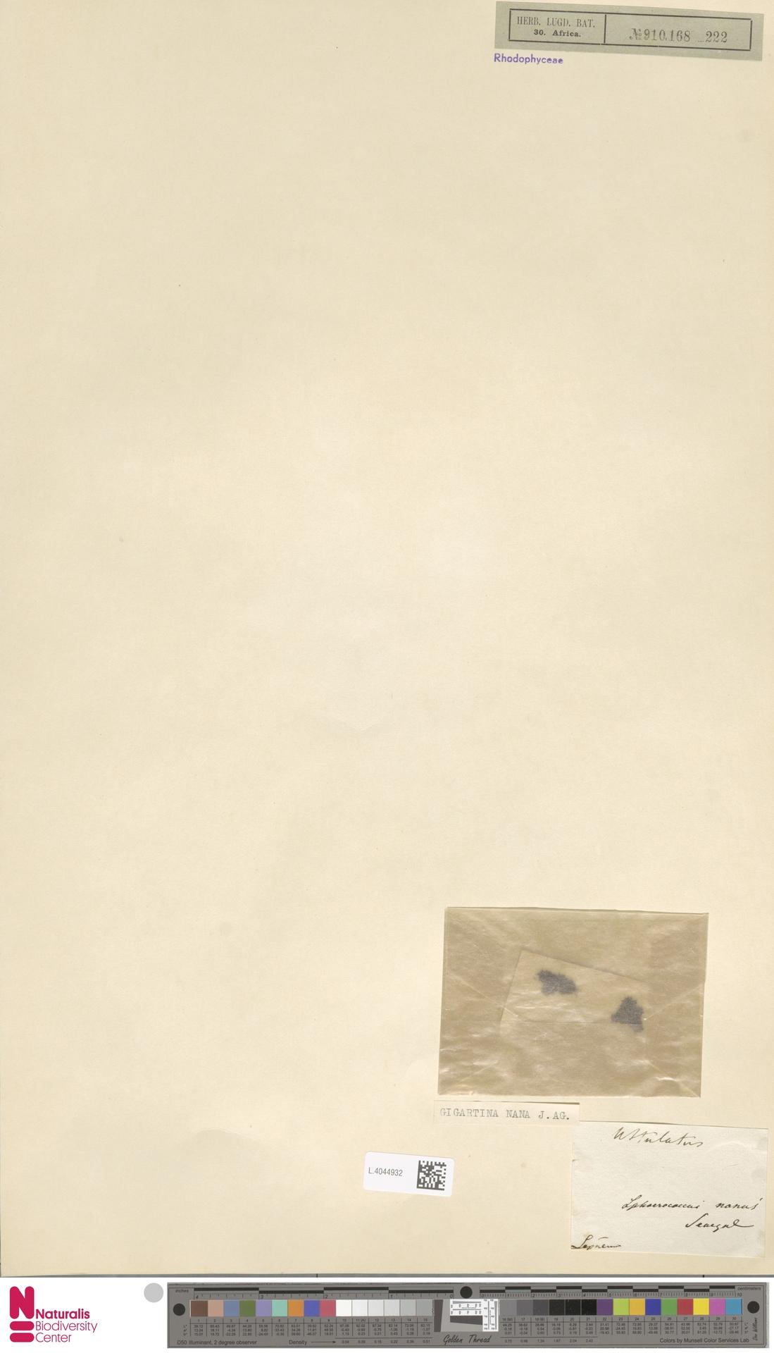 L.4044932 | Gigartina nana (C.Agardh) J.Agardh