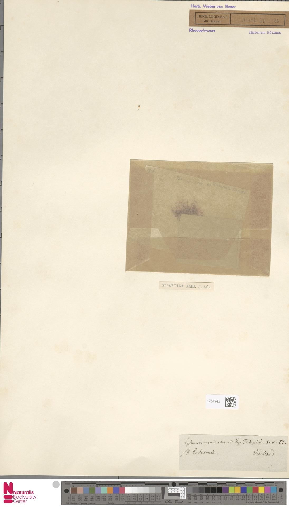 L.4044933 | Gigartina nana (C.Agardh) J.Agardh