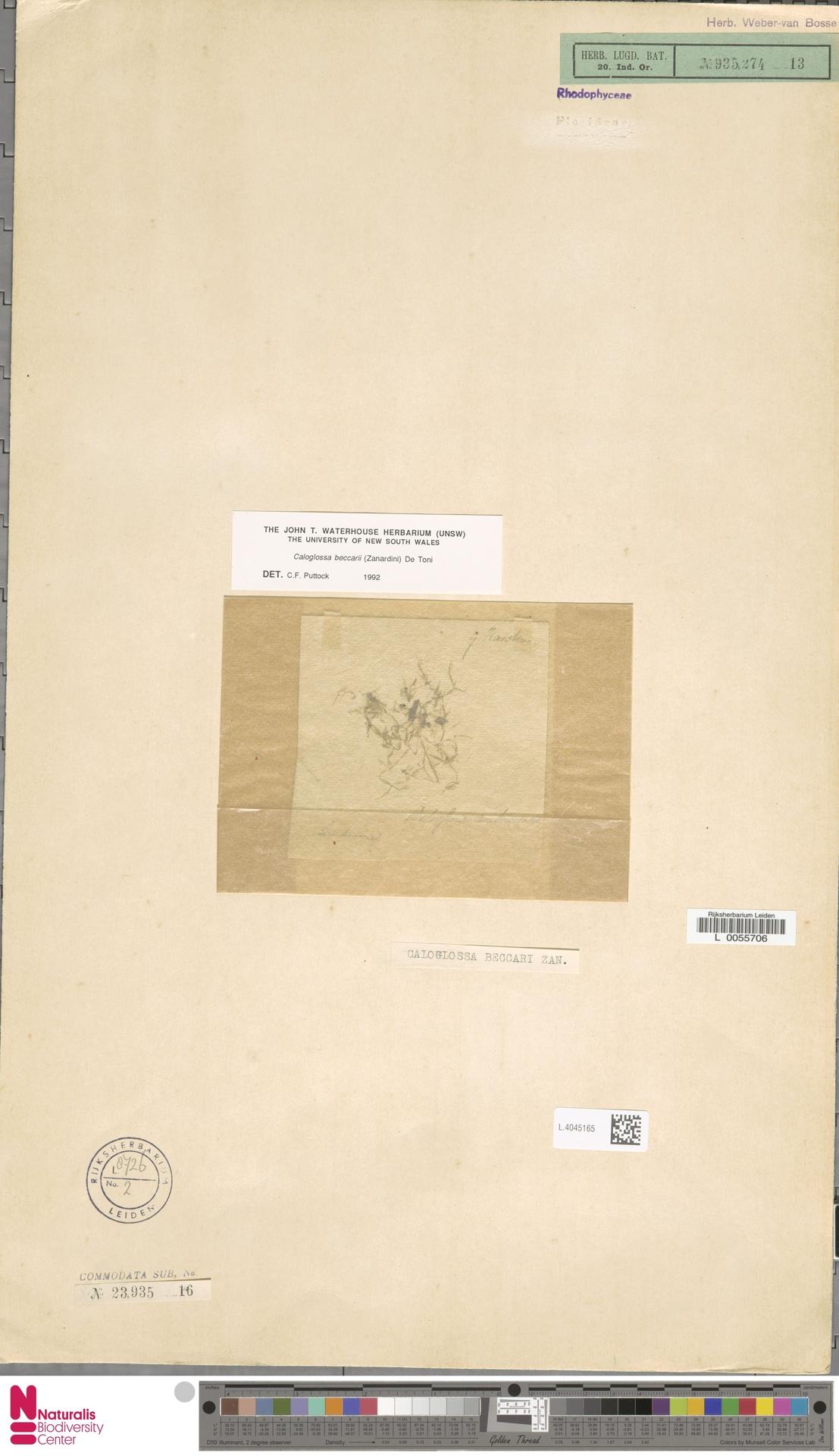 L.4045165   Caloglossa beccarii (Zanardini) De Toni