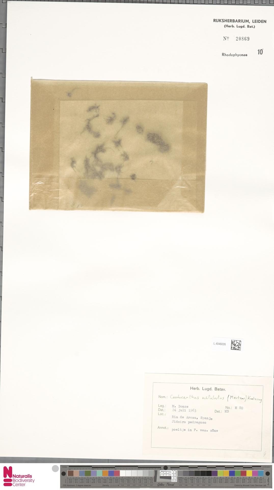 L.4046026 | Caulacanthus ustulatus (Mert.) Kütz.