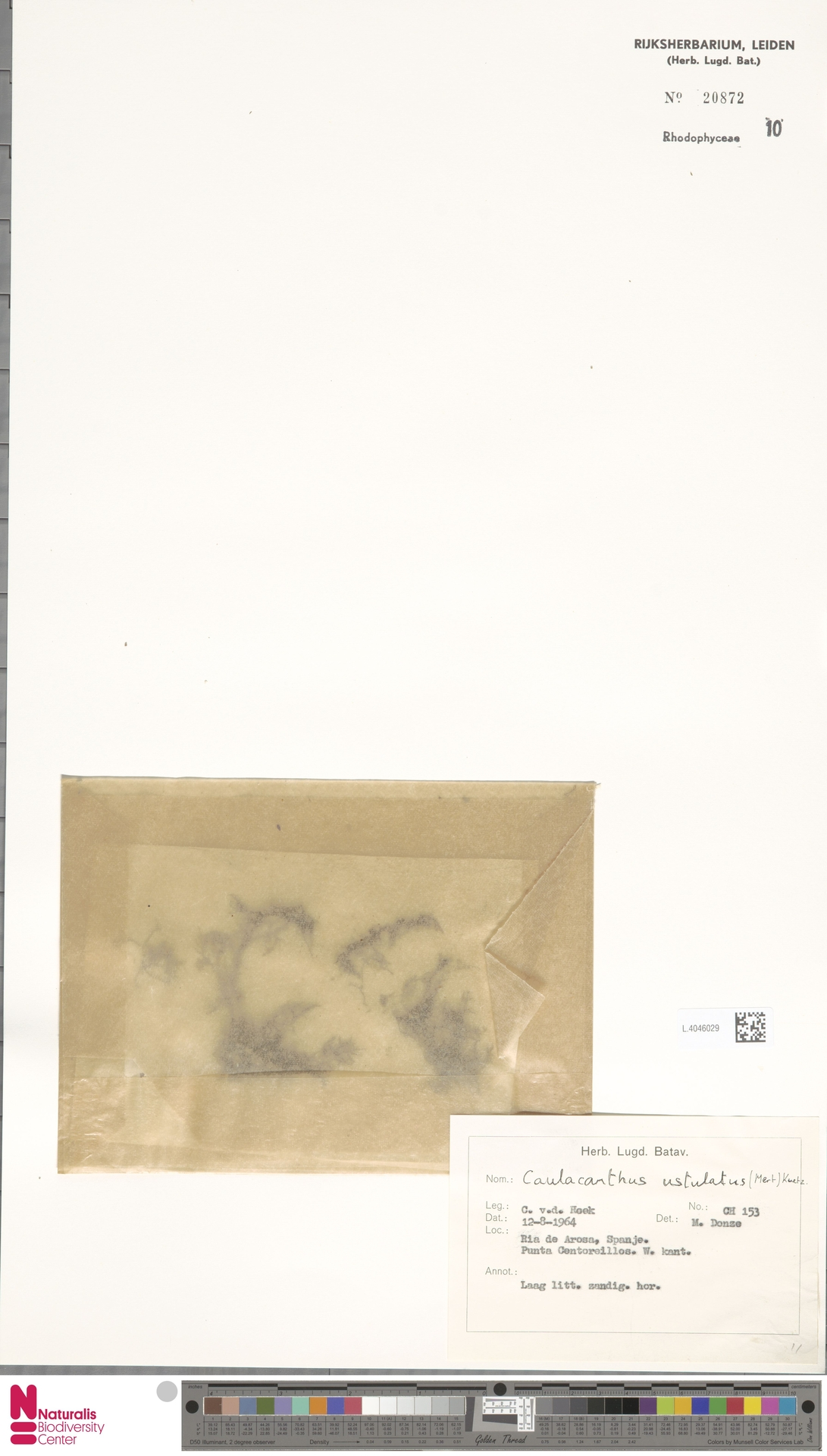 L.4046029 | Caulacanthus ustulatus (Mert.) Kütz.
