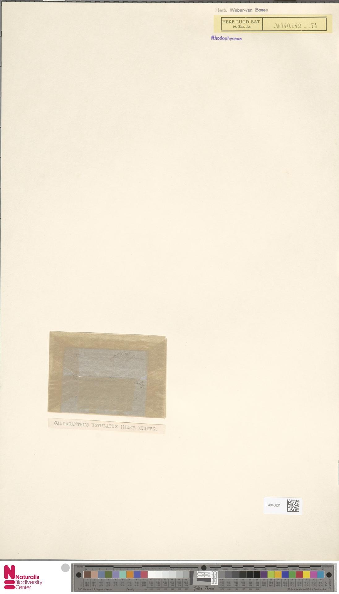 L.4046031 | Caulacanthus ustulatus (Mert.) Kütz.
