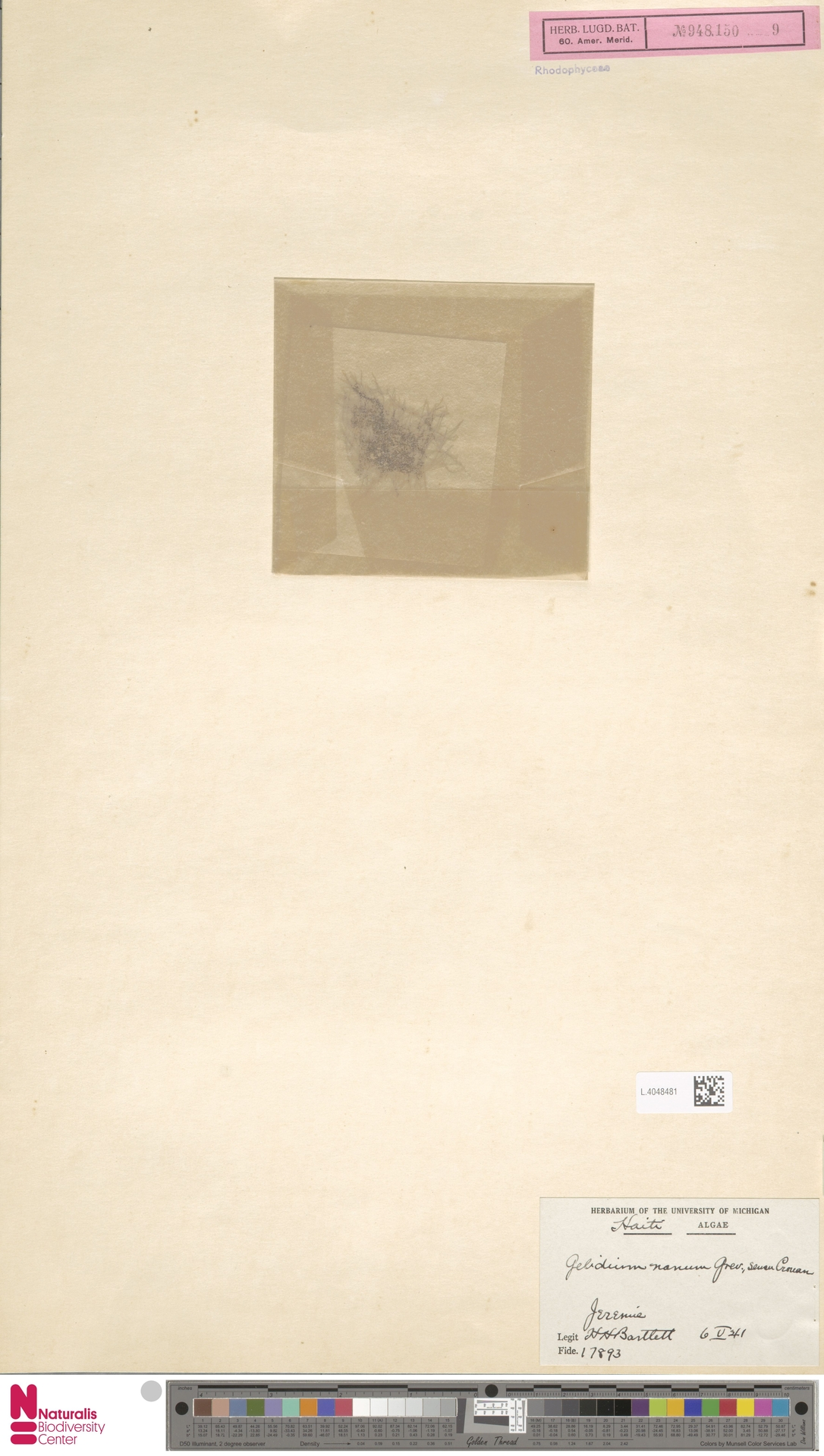 L.4048481 | Gelidium nanum Inagaki