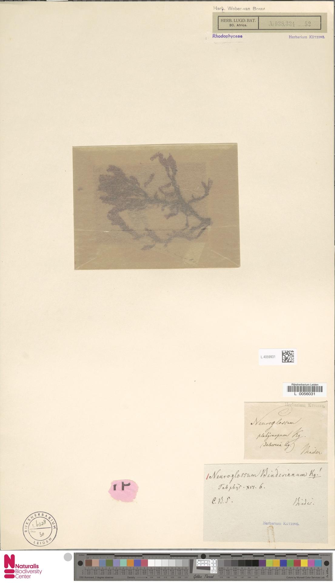 L.4059931 | Neuroglossum binderianum Kütz.
