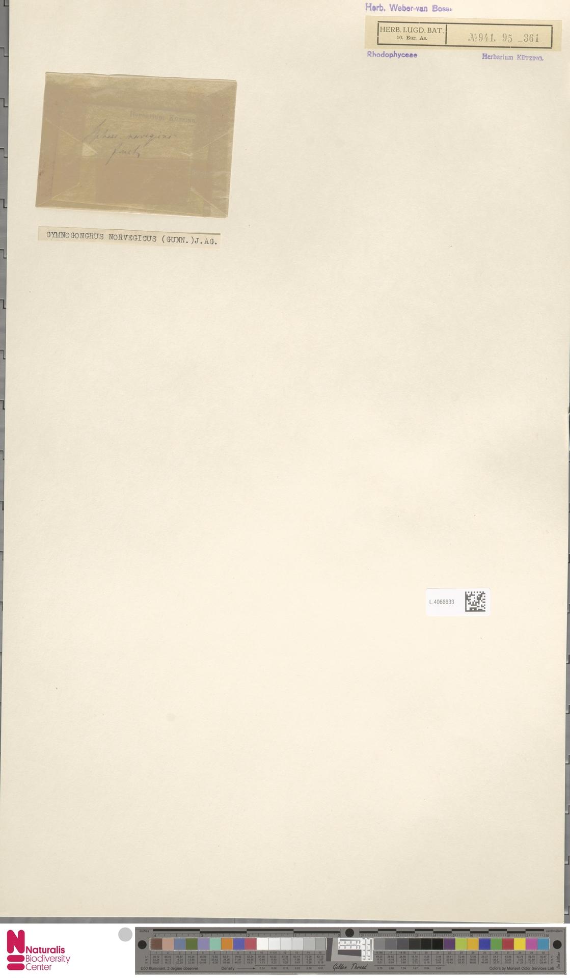 L.4066633 | Gymnogongrus norvegicus (Gunnerus) J.Agardh