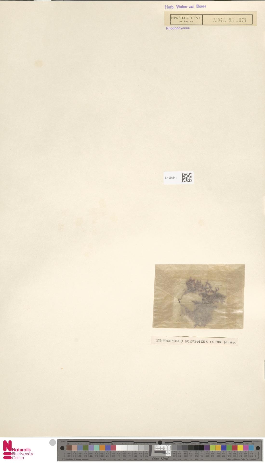L.4066641 | Gymnogongrus norvegicus (Gunnerus) J.Agardh