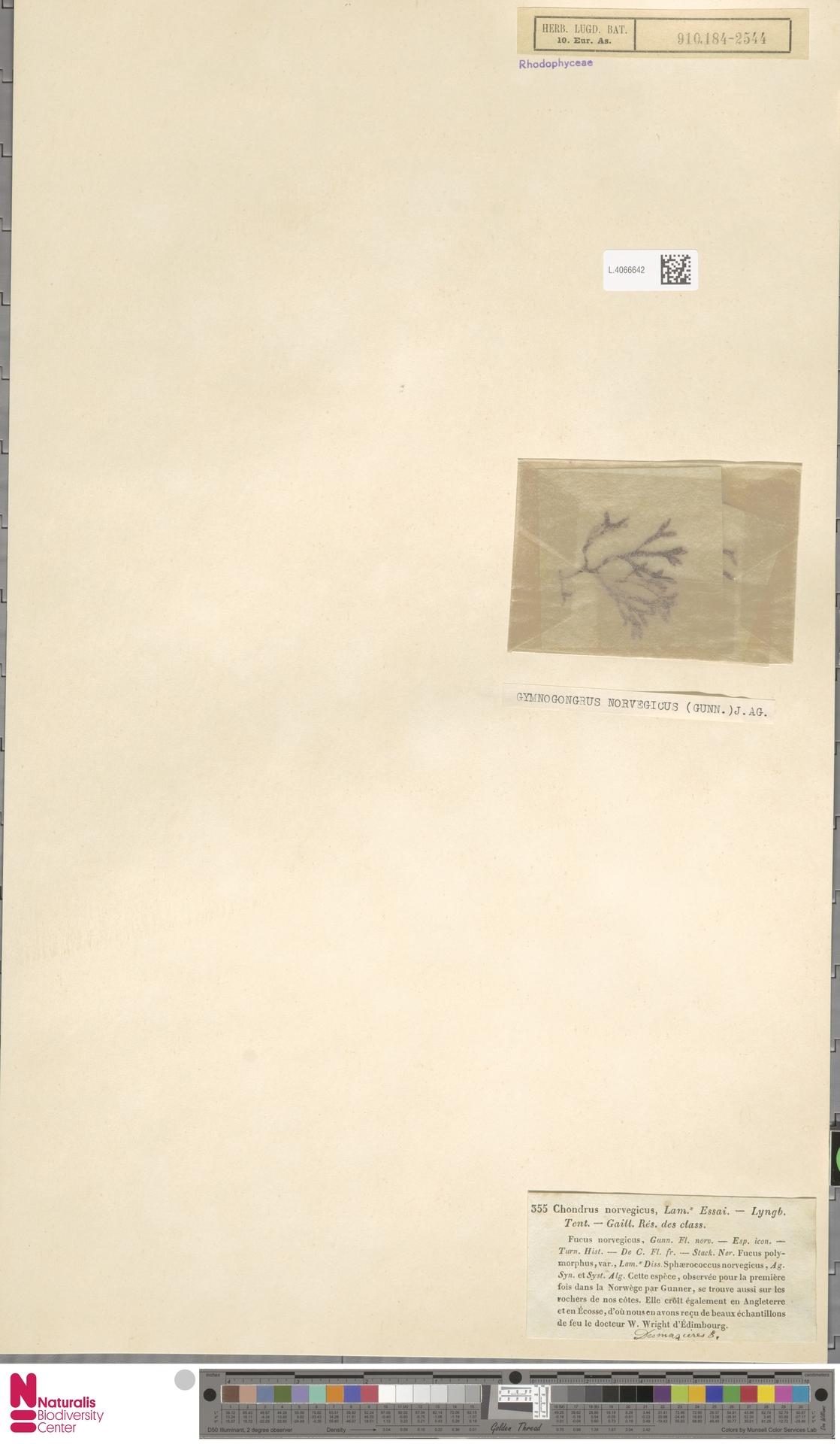 L.4066642 | Gymnogongrus norvegicus (Gunnerus) J.Agardh
