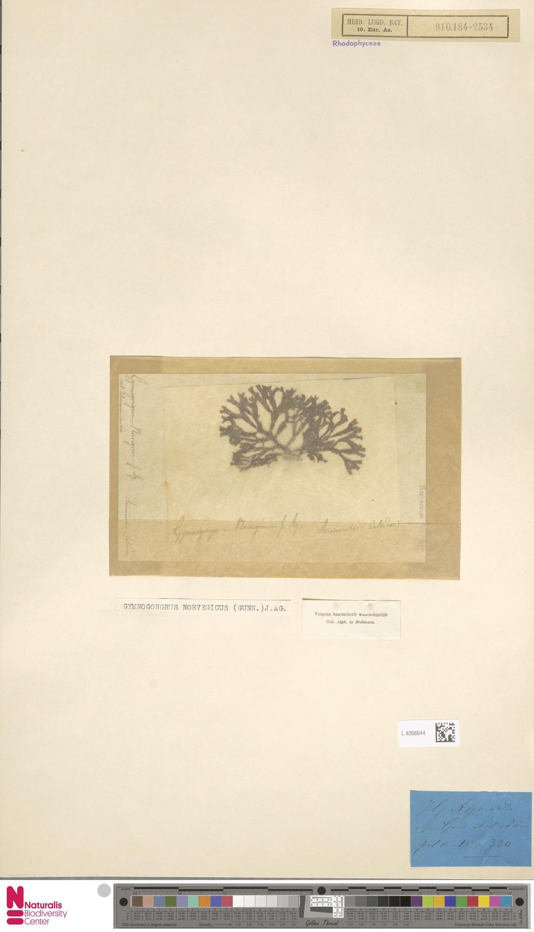 L.4066644 | Gymnogongrus norvegicus (Gunnerus) J.Agardh