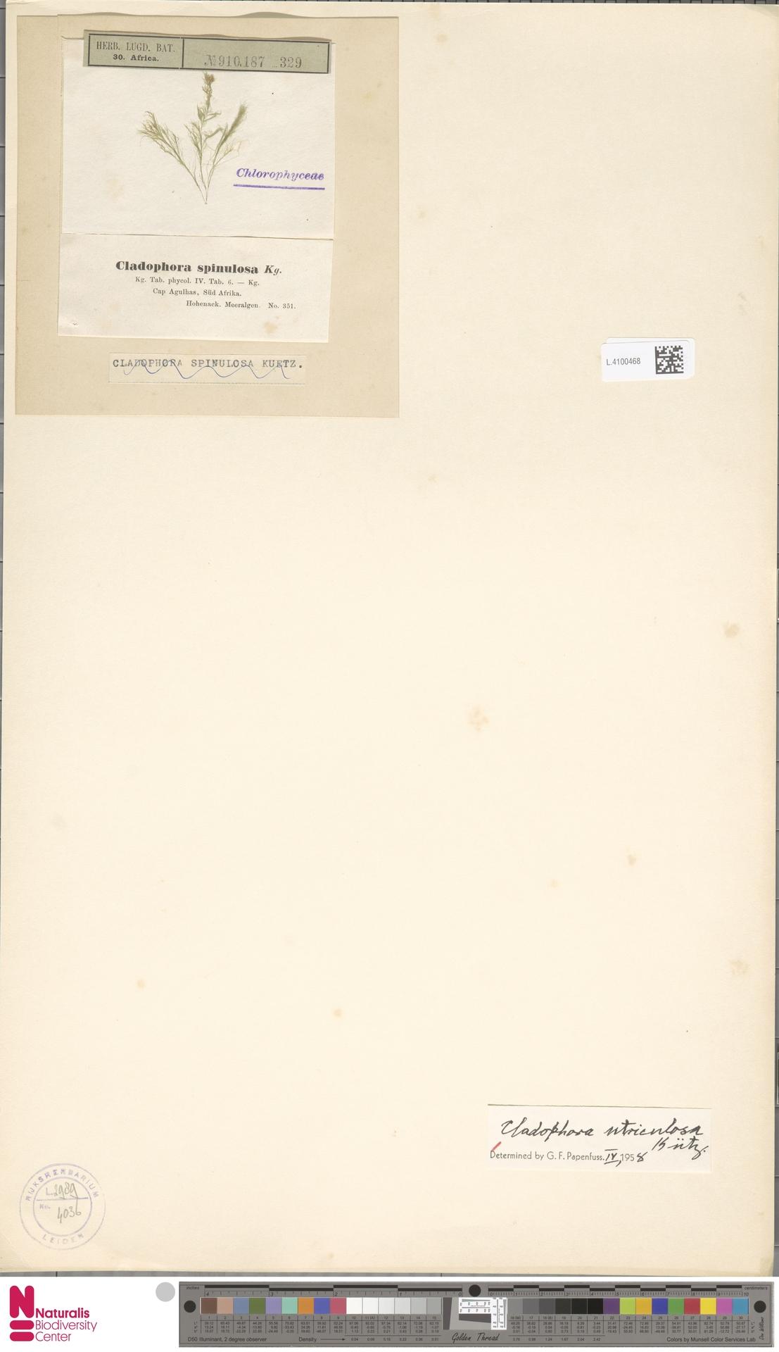 L.4100468 | Cladophora utriculosa Kütz.