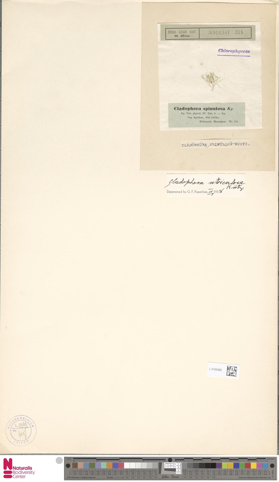L.4100469 | Cladophora utriculosa Kütz.