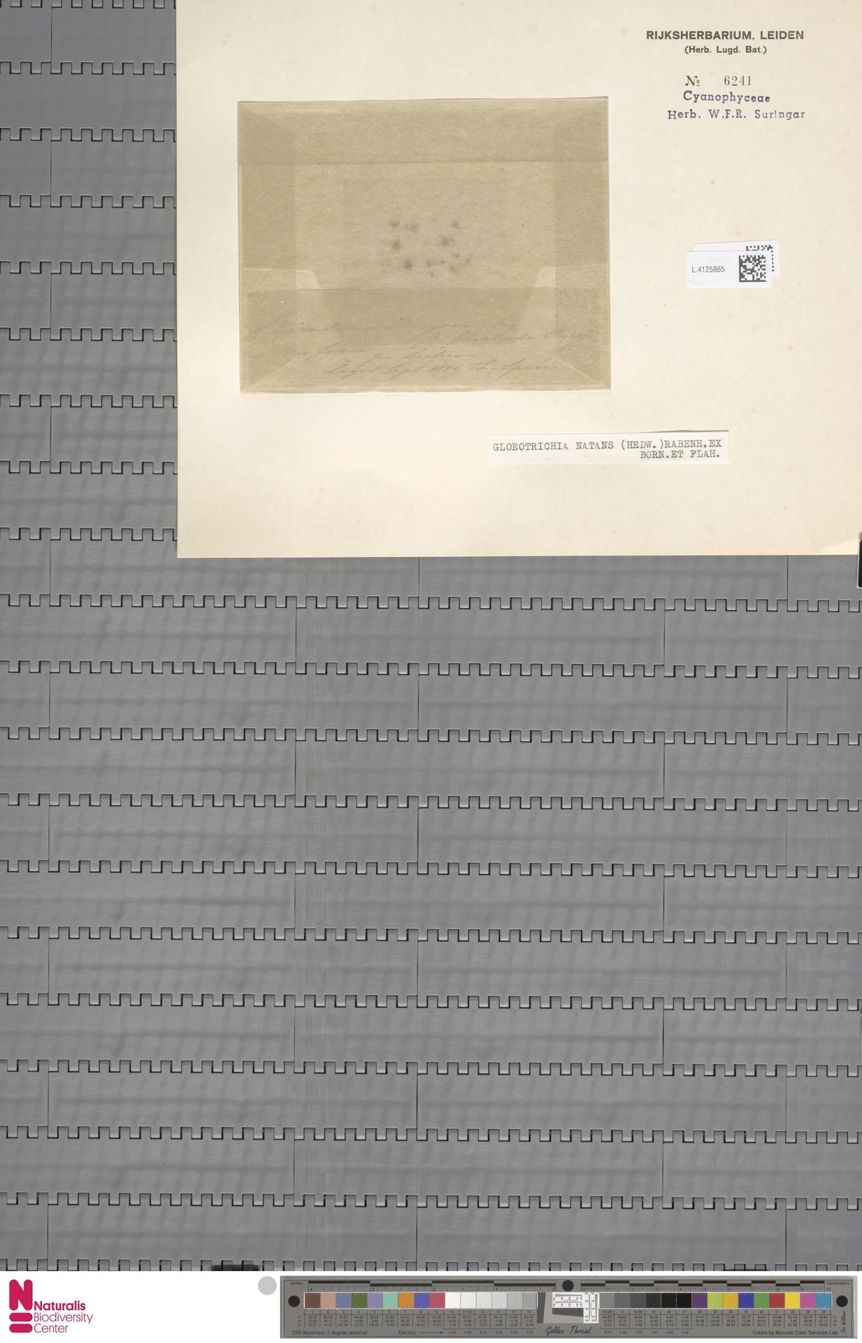 L.4125865 | Gloeotrichia natans (Hedw.) Rabenh. ex Bornet & Flahault