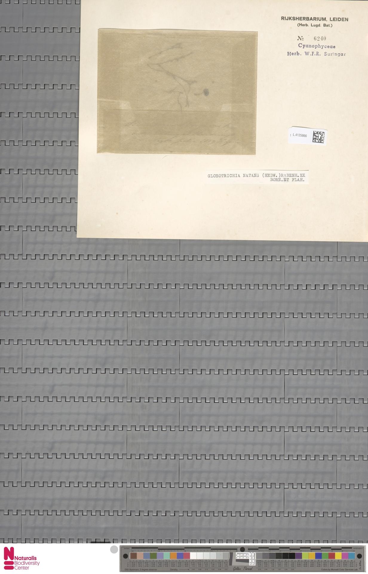L.4125866 | Gloeotrichia natans Rabenh. ex Bornet & Flahault
