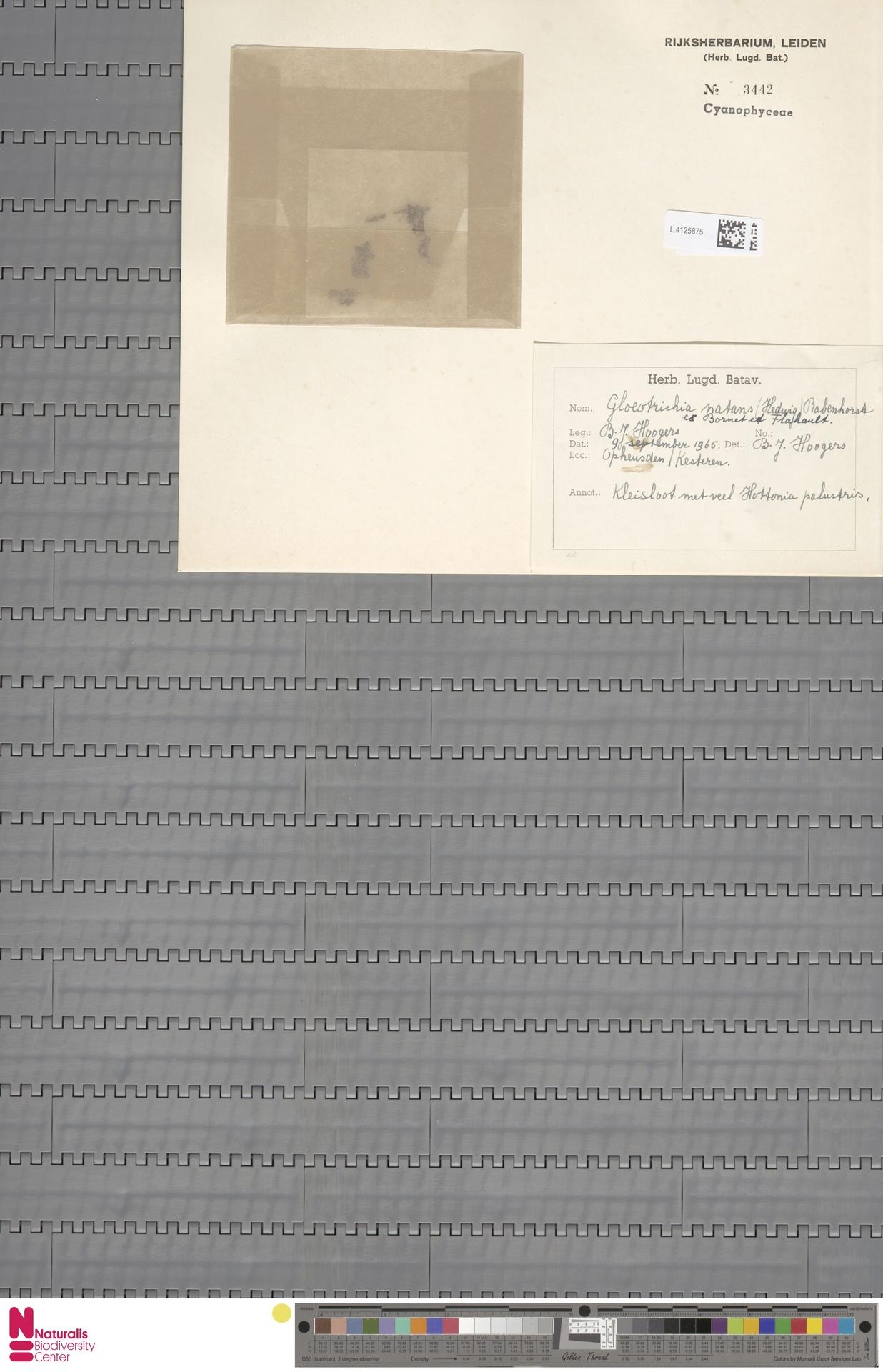 L.4125875 | Gloeotrichia natans Rabenh. ex Bornet & Flahault